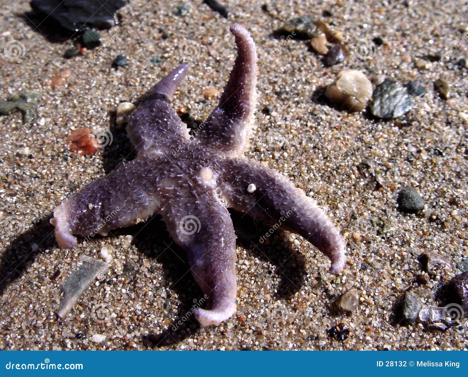 Zeester in het zand