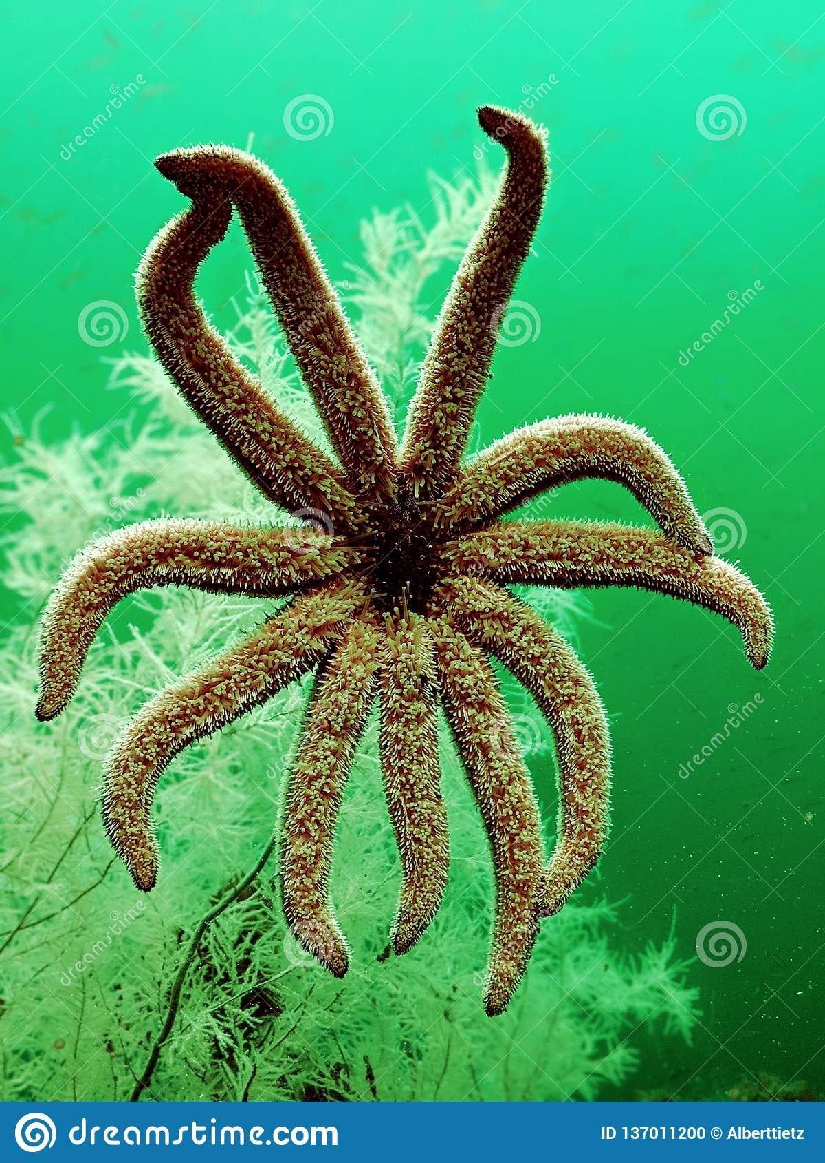 Zeester onder water voor zwart koraal