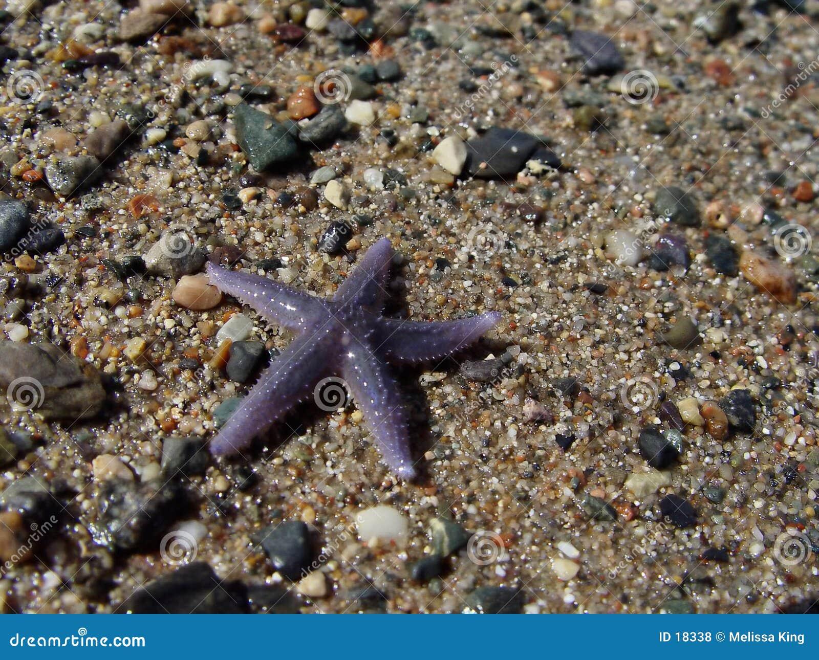 Zeester op Strand
