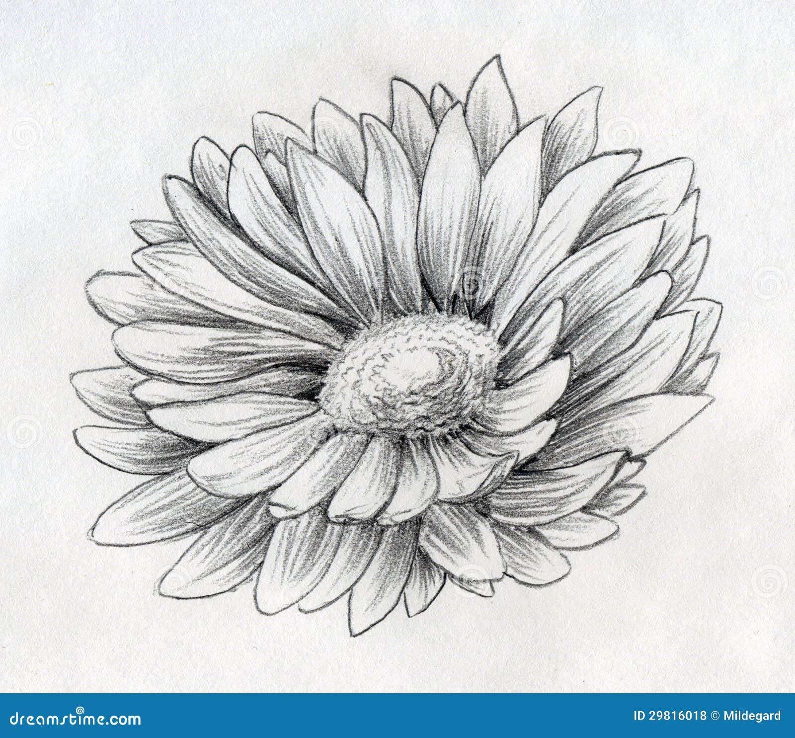 Gänseblümchenblumen-Bleistiftskizze Stock Abbildung - Illustration ...