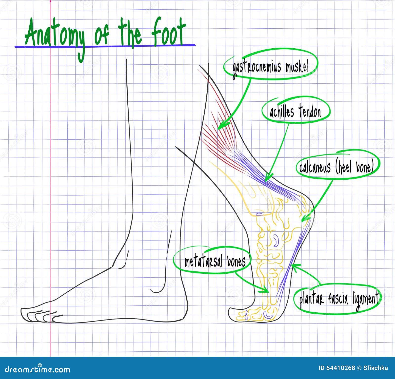 Zeichnung Der Anatomie Der Seite Des Menschlichen Fußes Vektor ...