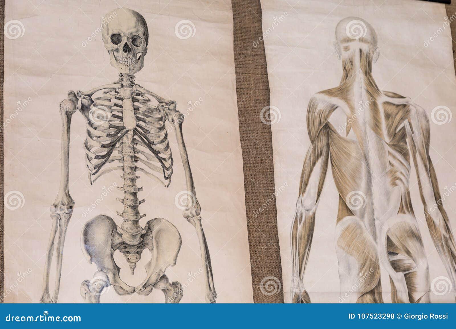Zeichnung Zwei Der Menschlichen Anatomie: Skelett-und Torso ...