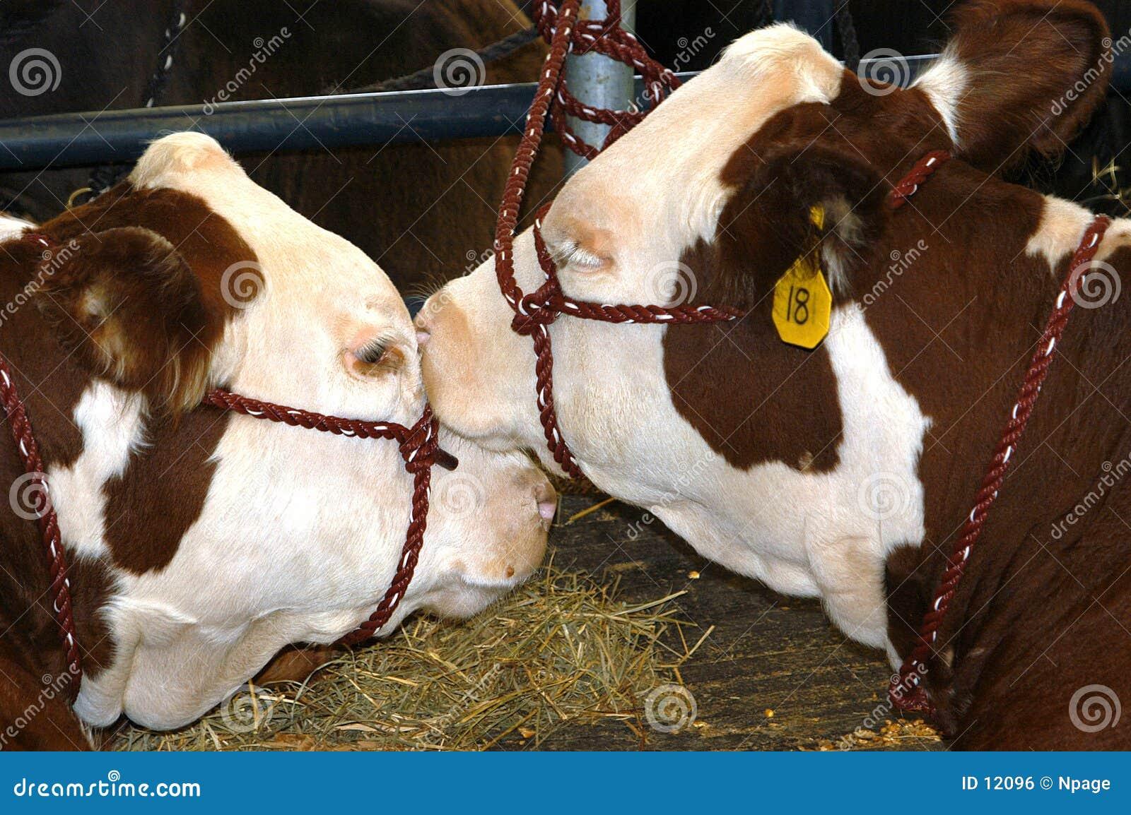 Zeigen Sie Kühe