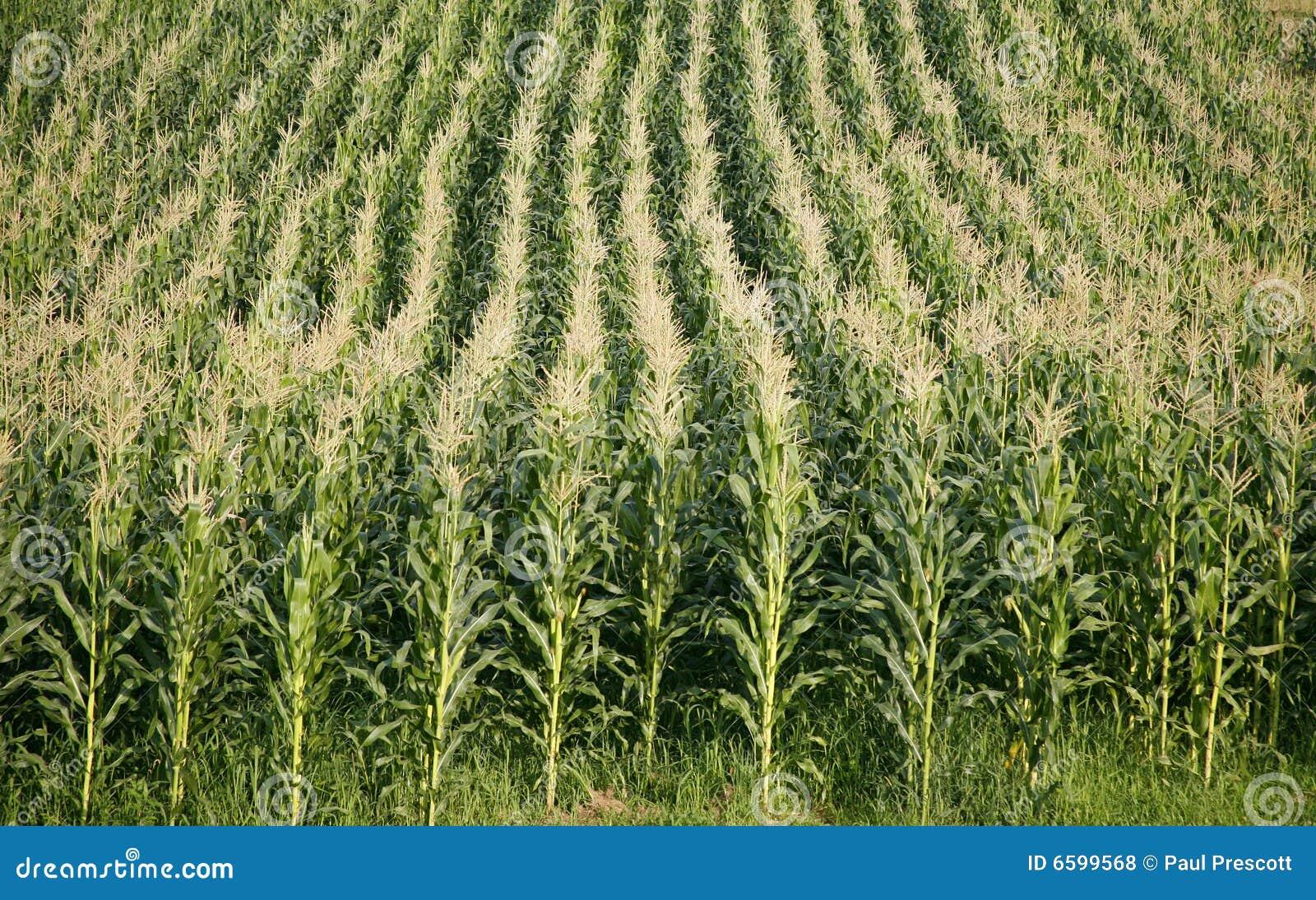 Zeilen von Mais