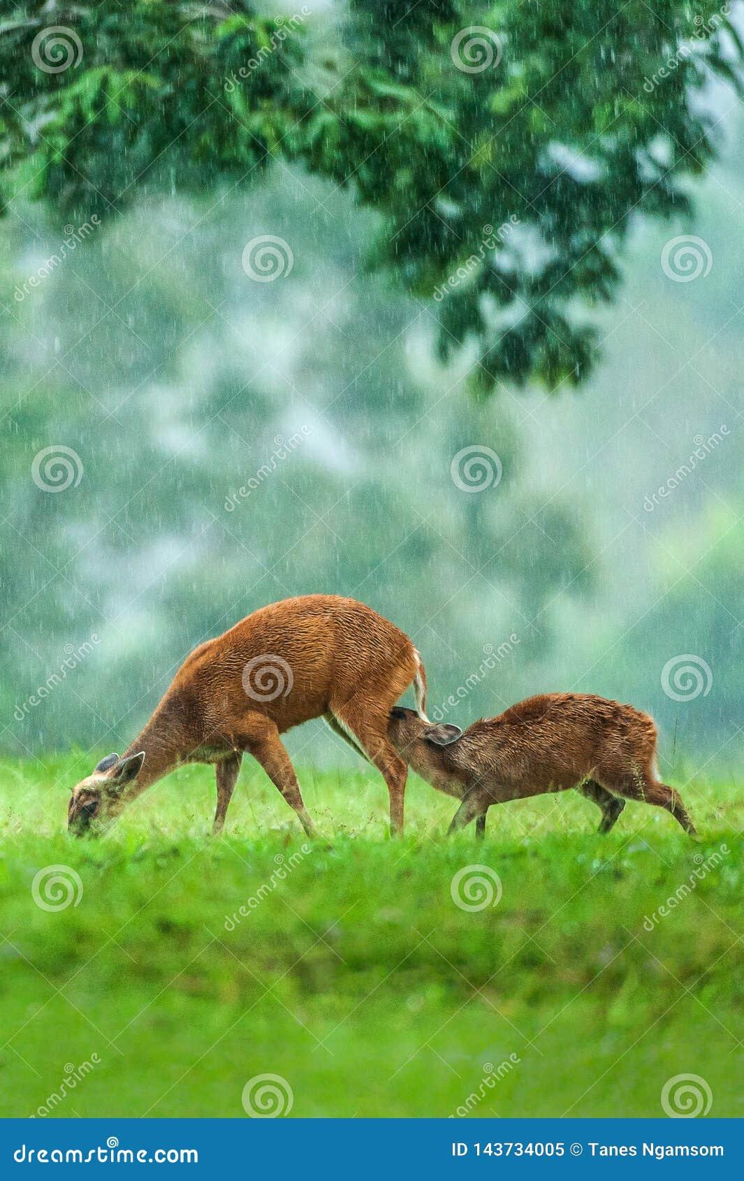 Zeit einzuziehen, Babykitz und Hintermutter, die einen zarten Verpfändungsmoment im Regen haben Der meiste populäre Platz in Viet