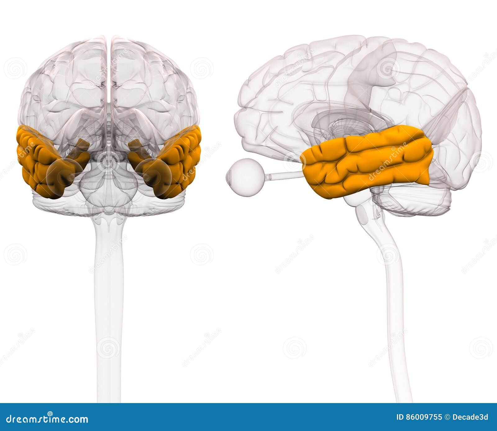 Zeitlicher Vorsprung Brain Anatomy Illustration 3d Stock Abbildung