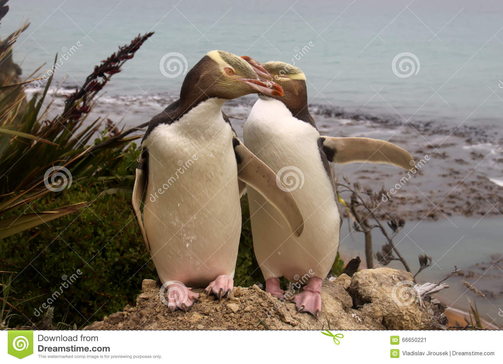 Zeldzaamste geel-Eyed Pinguïn, megadyptes antipodes, Nieuw Zeeland, Zuideneiland