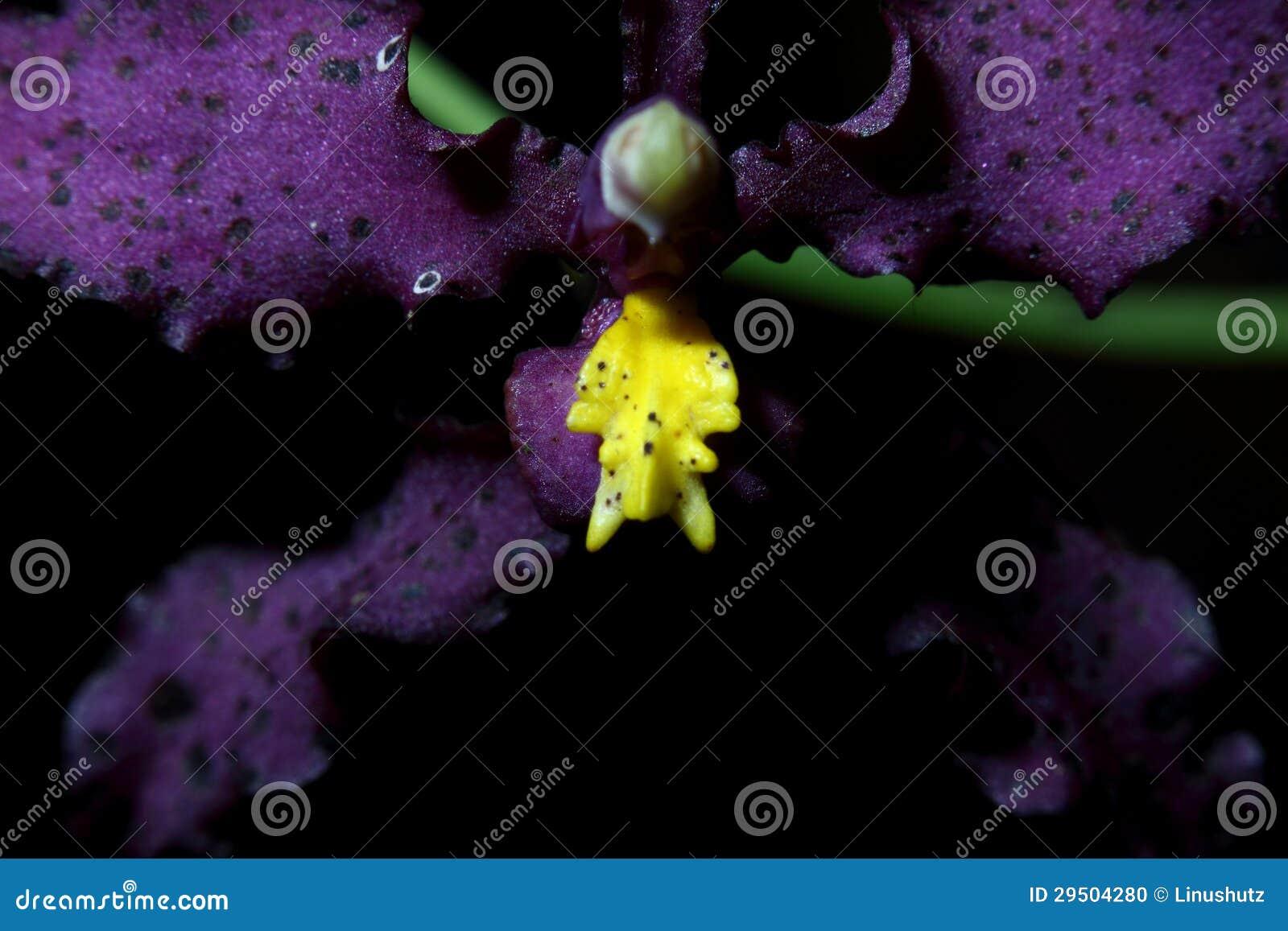 Zeldzame Orchidee