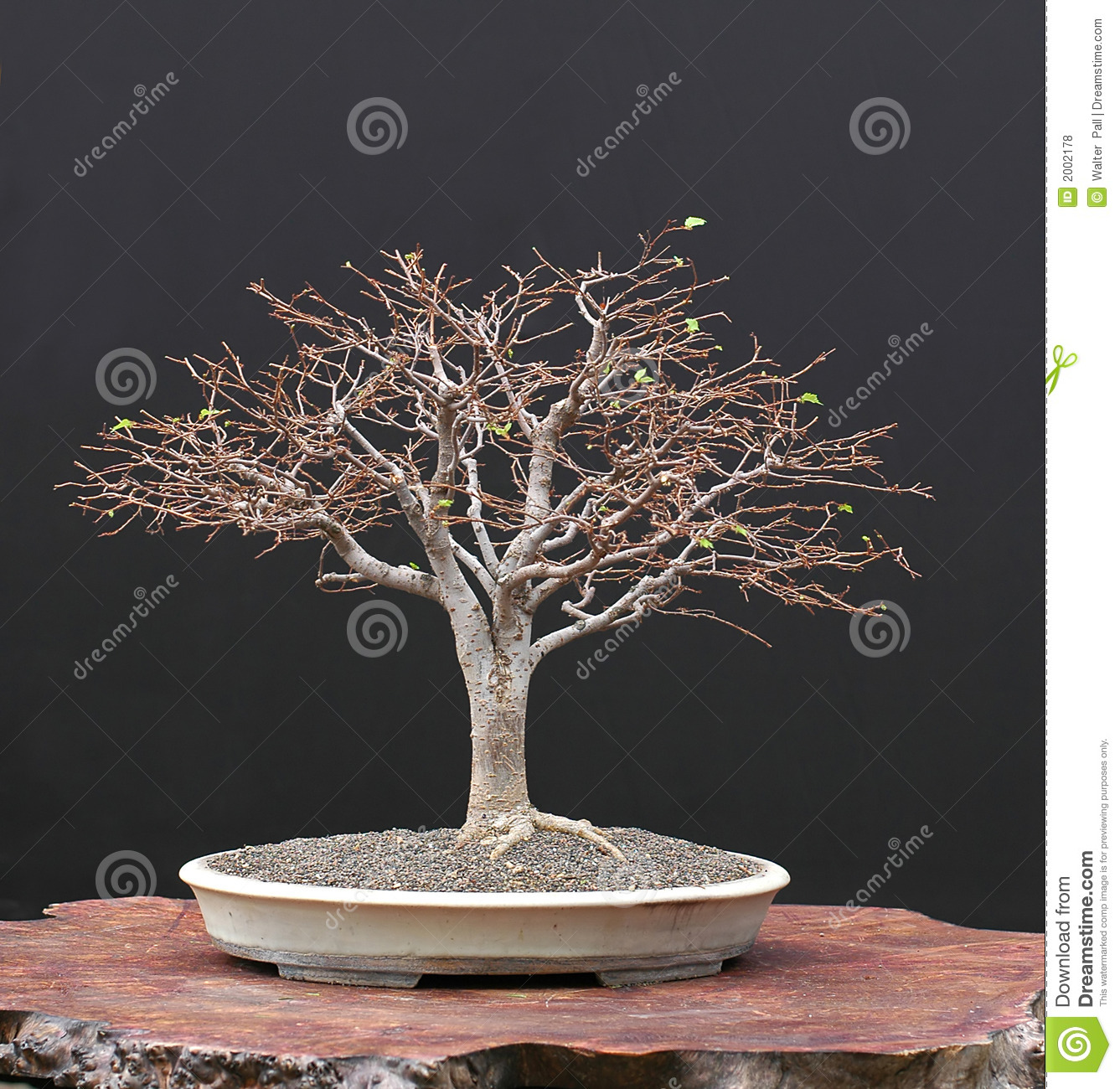 302 Zelkova Photos Free Royalty Free Stock Photos From Dreamstime