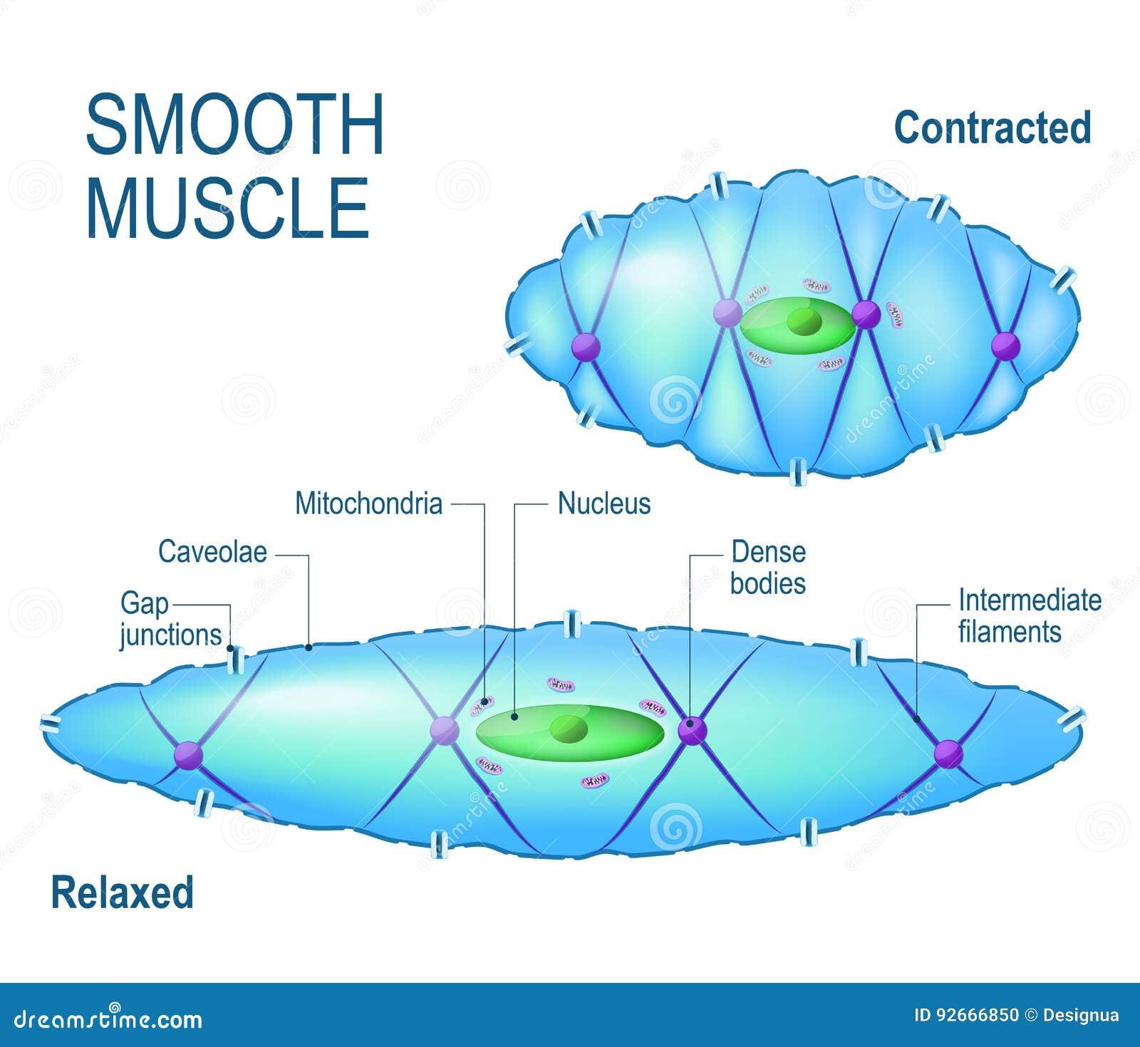 Zelle des glatten Muskels vektor abbildung. Illustration von motor ...