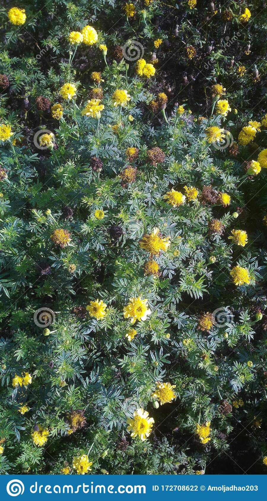 Zendu Is A Yellow Flowers And Very Sented Flowers And Diwali Festival Is A Very Important This Flowers Stock Photo Image Of Farm Father 172708622
