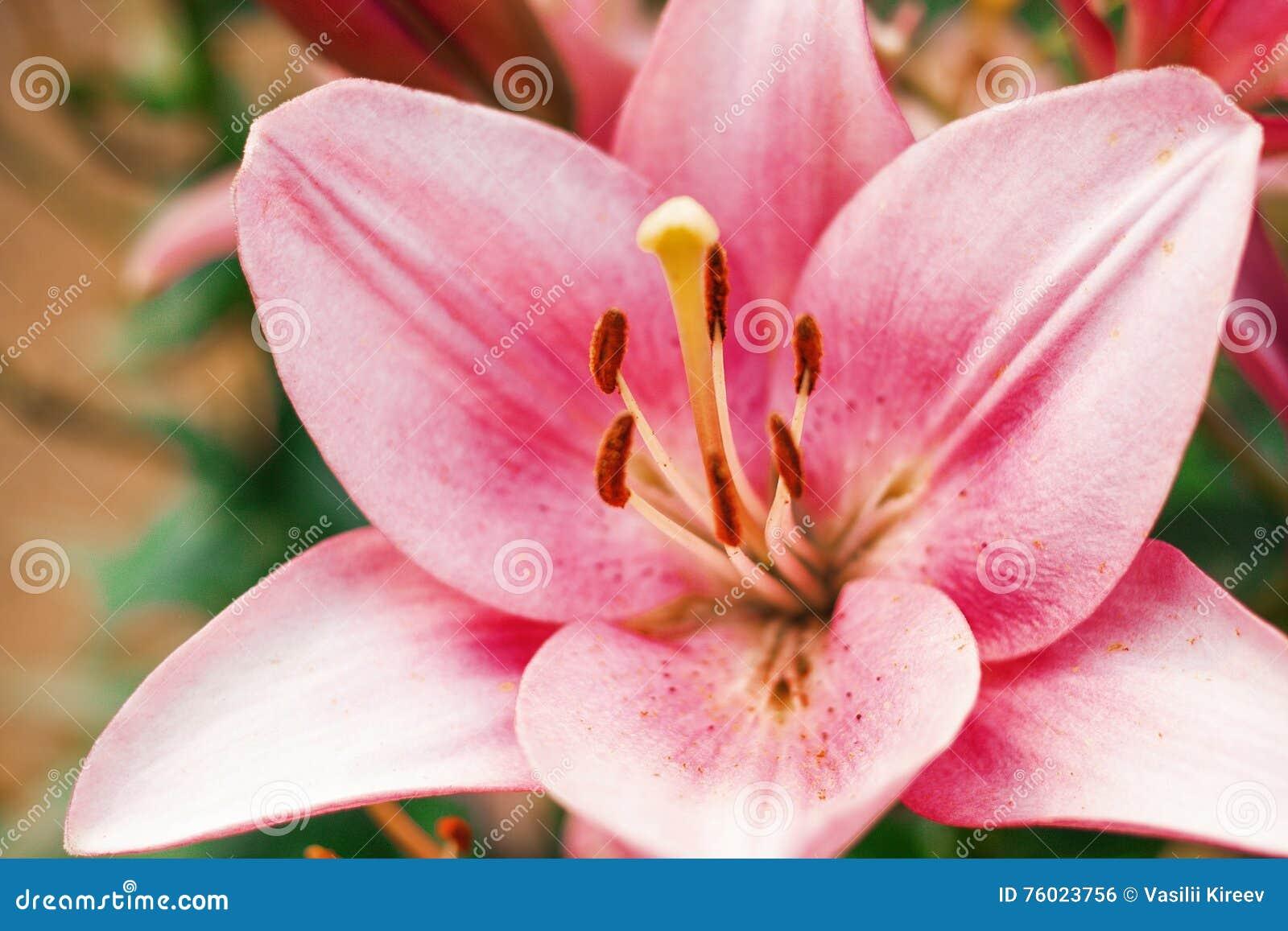 Zephyranthes flower common names for species in this genus include zephyranthes flower common names for species in this genus include fairy lily rainflower izmirmasajfo