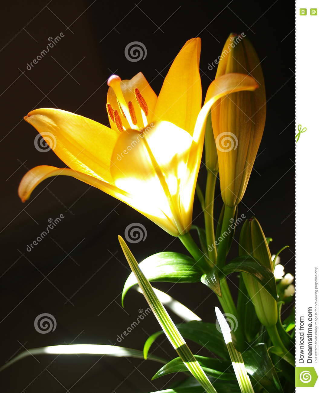 Zephyranthes lily flower common names for species in this genus zephyranthes lily flower common names for species in this genus include fairy lily rainflower zephyr lily magic lily atamasco lily madonna lily and izmirmasajfo