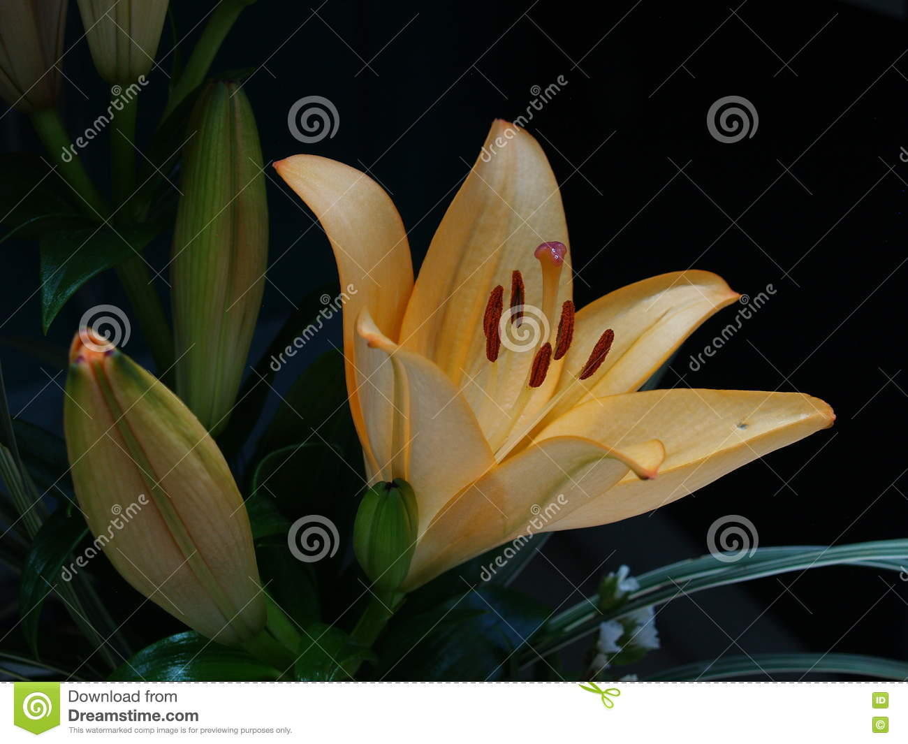 Zephyranthes lily flower common names for species in this genus zephyranthes lily flower common names for species in this genus include fairy rainflower izmirmasajfo