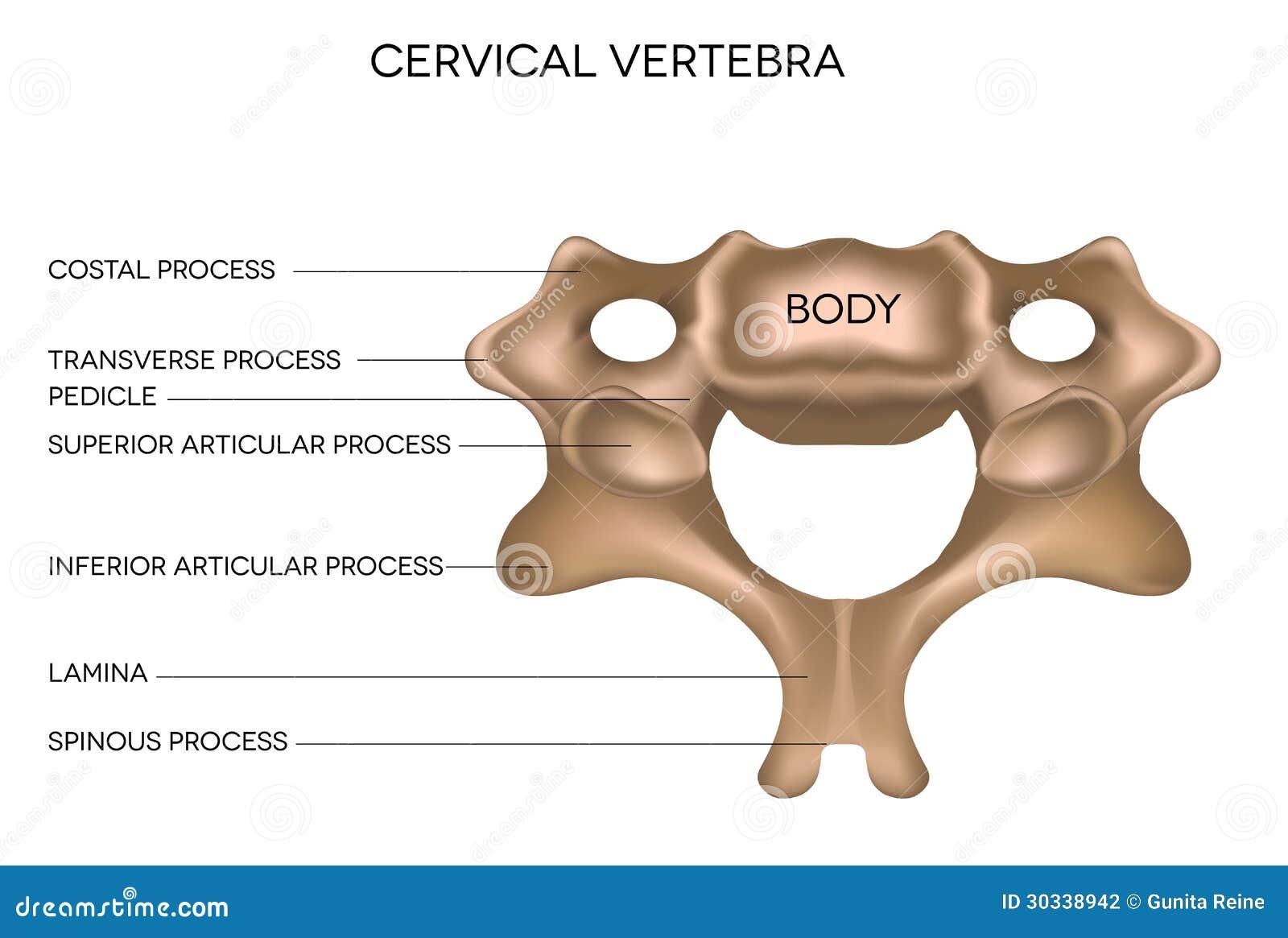 Zervikaler Wirbel vektor abbildung. Illustration von gesundheit ...