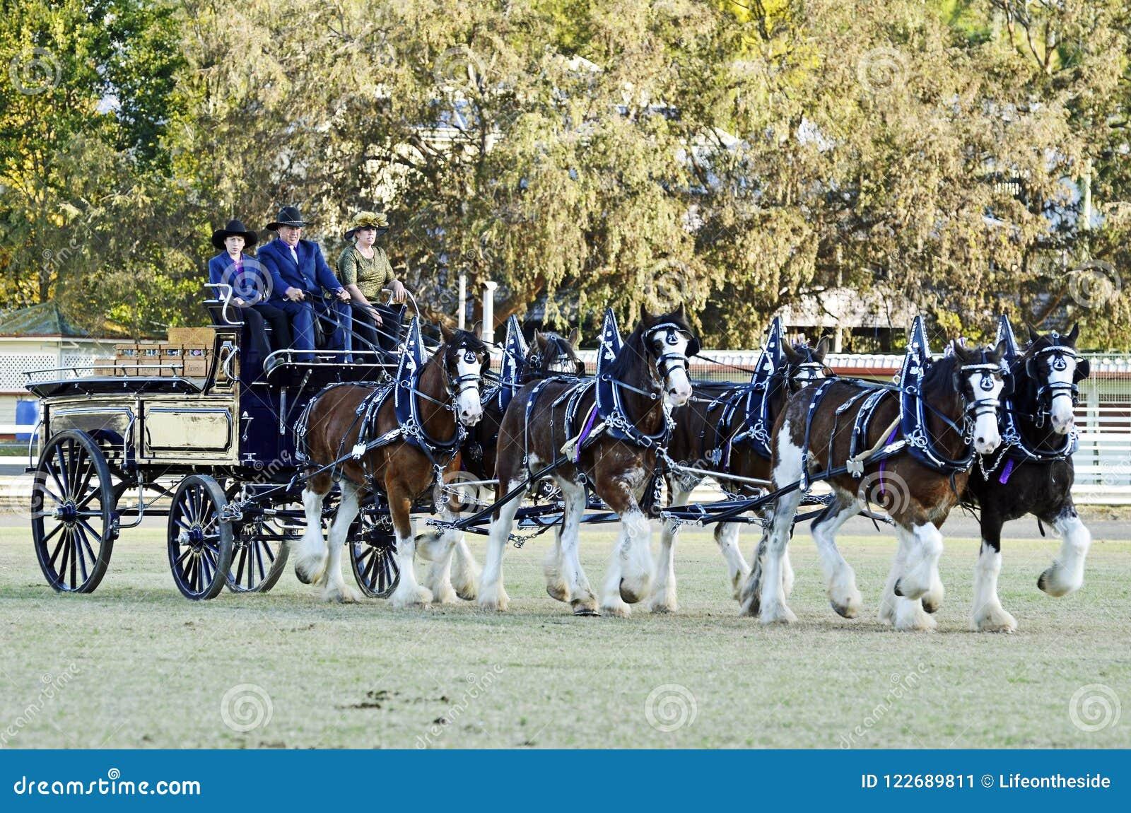 Zespala się sześć Clydesdale szkicu koni kłusować ciągnięcia frachtów