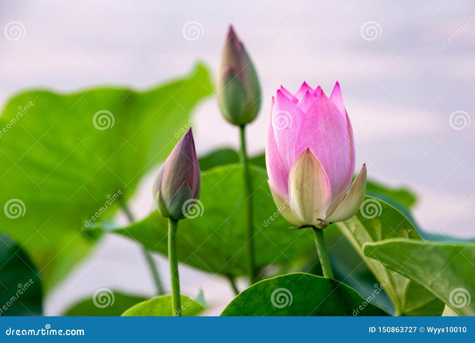 Zhuoqing Lian ma non demone, il fiore di un signore