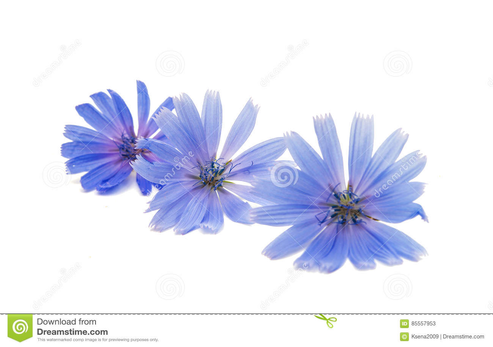 Zichorie-Blume