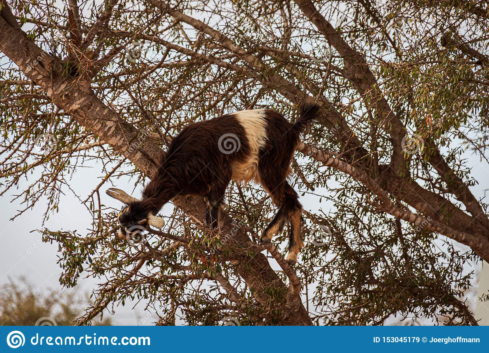 Goat in an argan tree feeding its fruits