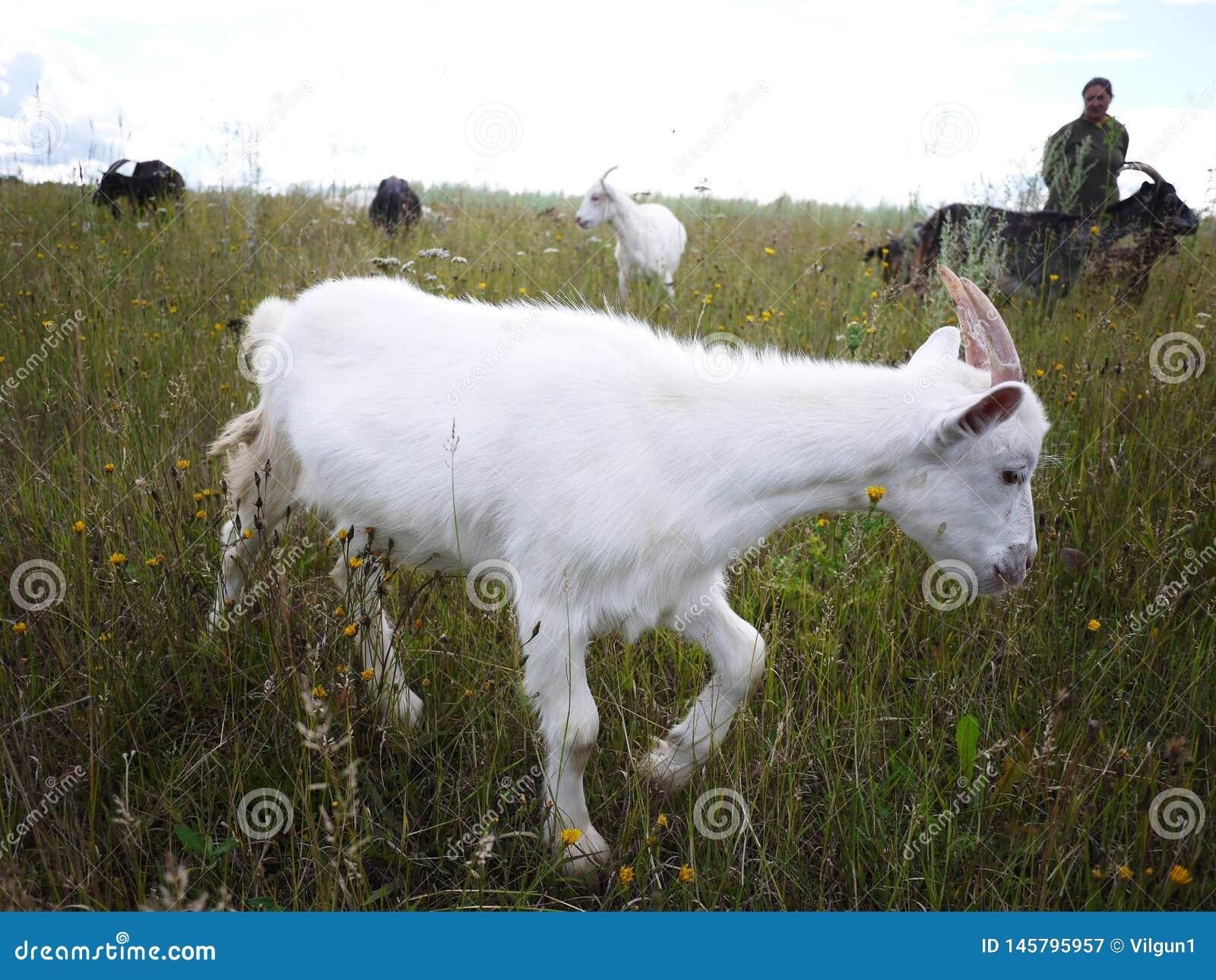 Ziegen lassen auf dem Gebiet weiden Eine Herde von Ziegen das Gras auf einem sonnigen Tag, auf den Details und auf der Nahaufnahm