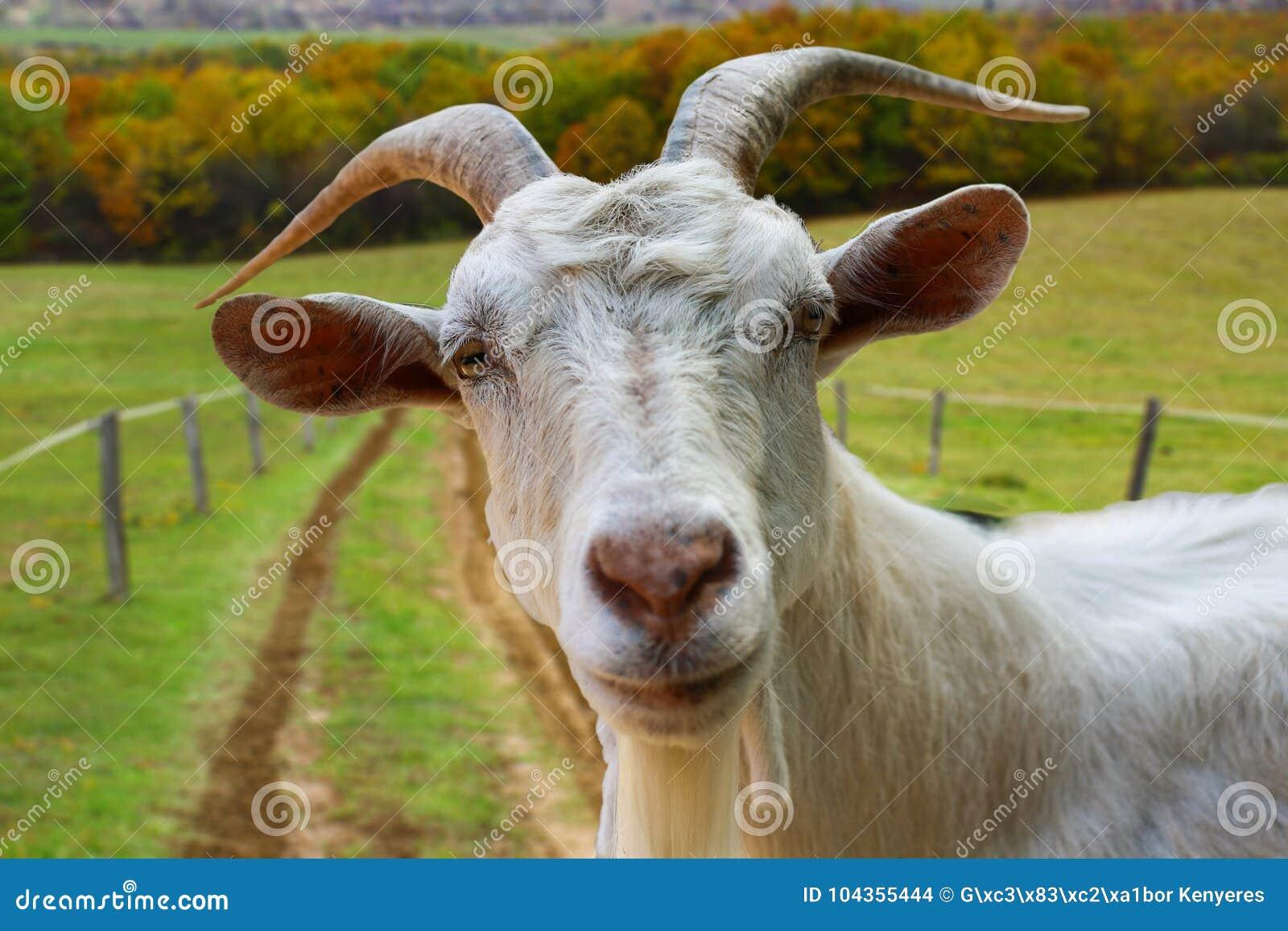 Ziegenporträt vom Bauernhof