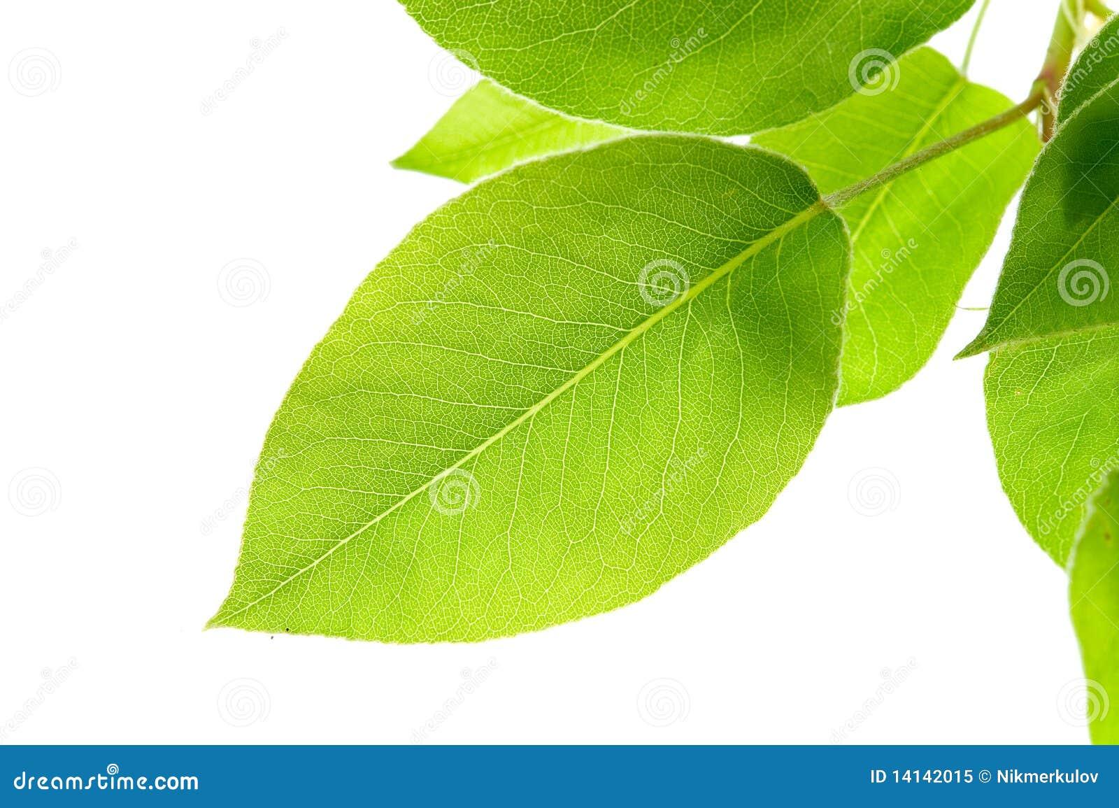Zieleń gałęziaści liść