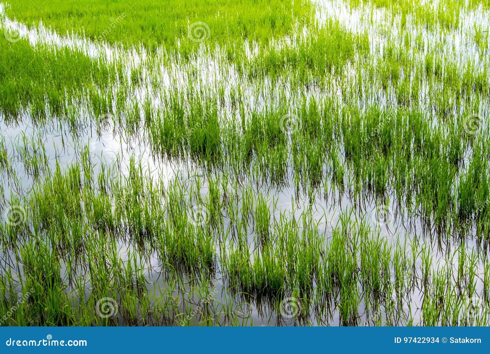 Zieleń i świeżość ryżu pola sceneria