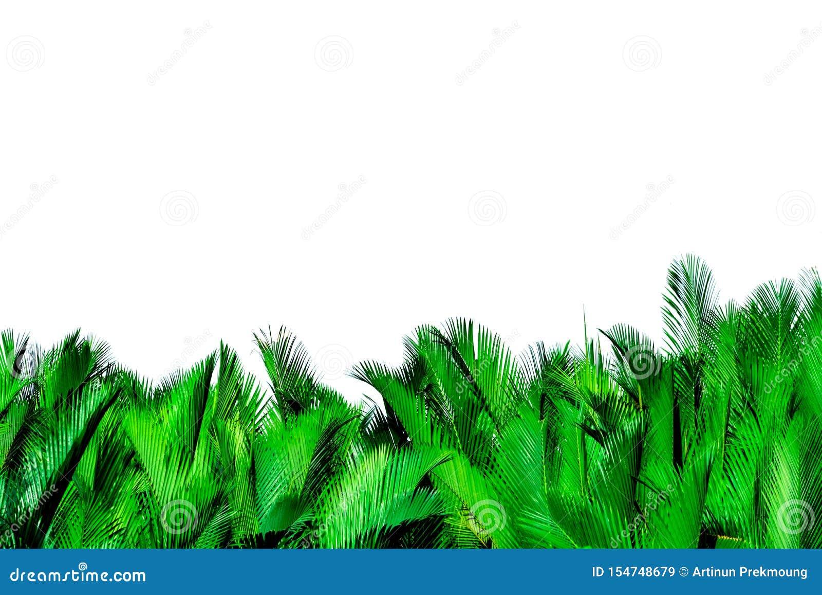 Zieleń liście odizolowywający na białym tle palma Nypa fruticans Wurmb Nypa, Atap palma, Nipa palma, Namorzynowa palma zielony li