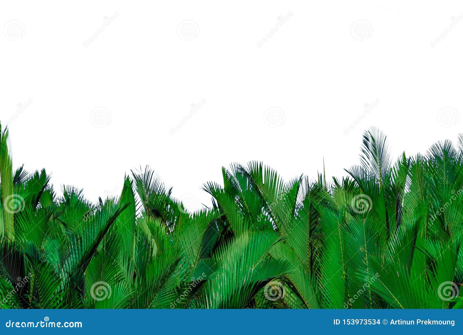 Zieleń liście odizolowywający na białym tle palma Zielony liść dla dekoracji w organicznie produktach tropikalne ro?liny Zielony