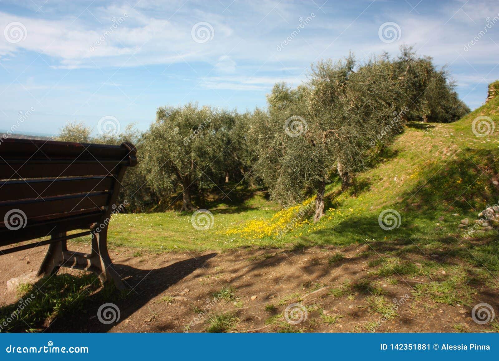 Zieleń pełno i wielki oliwny gaj drzewa oliwne, rośliny pełno liście i owoc, Przyjazd wiosna