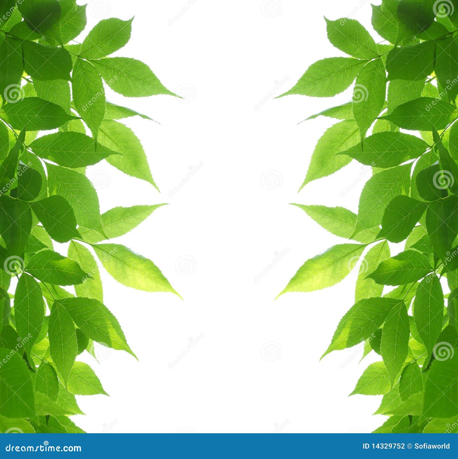 Zieleń ramowi liść