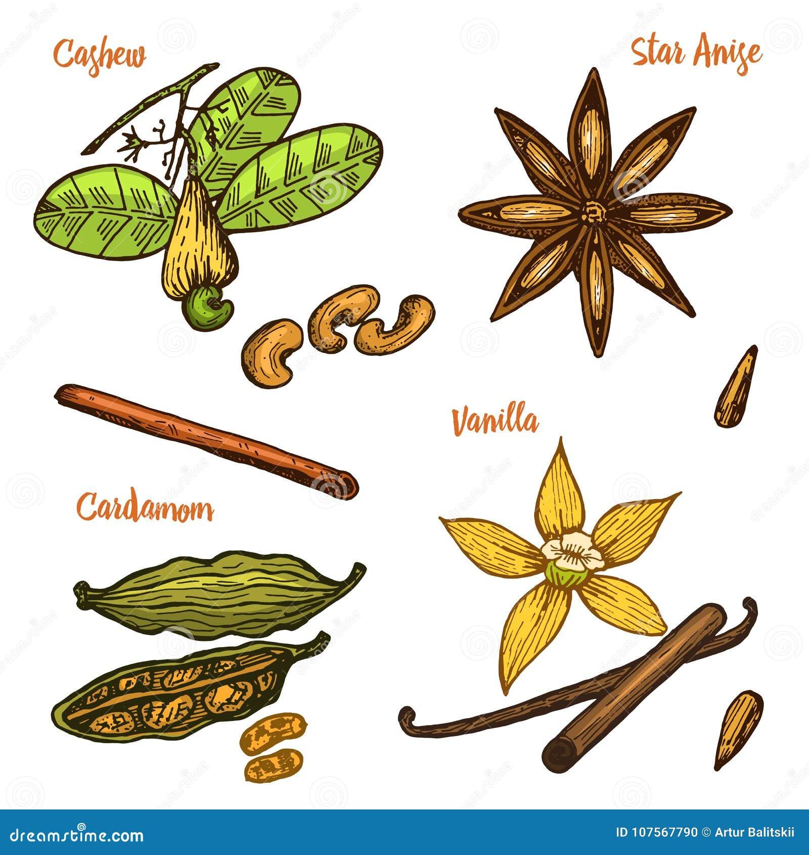 Ziele, condiments i pikantność, Wanilia, cynamon, nerkodrzew, kardamon, ziarna i gwiazdowy anyż dla menu, organicznie
