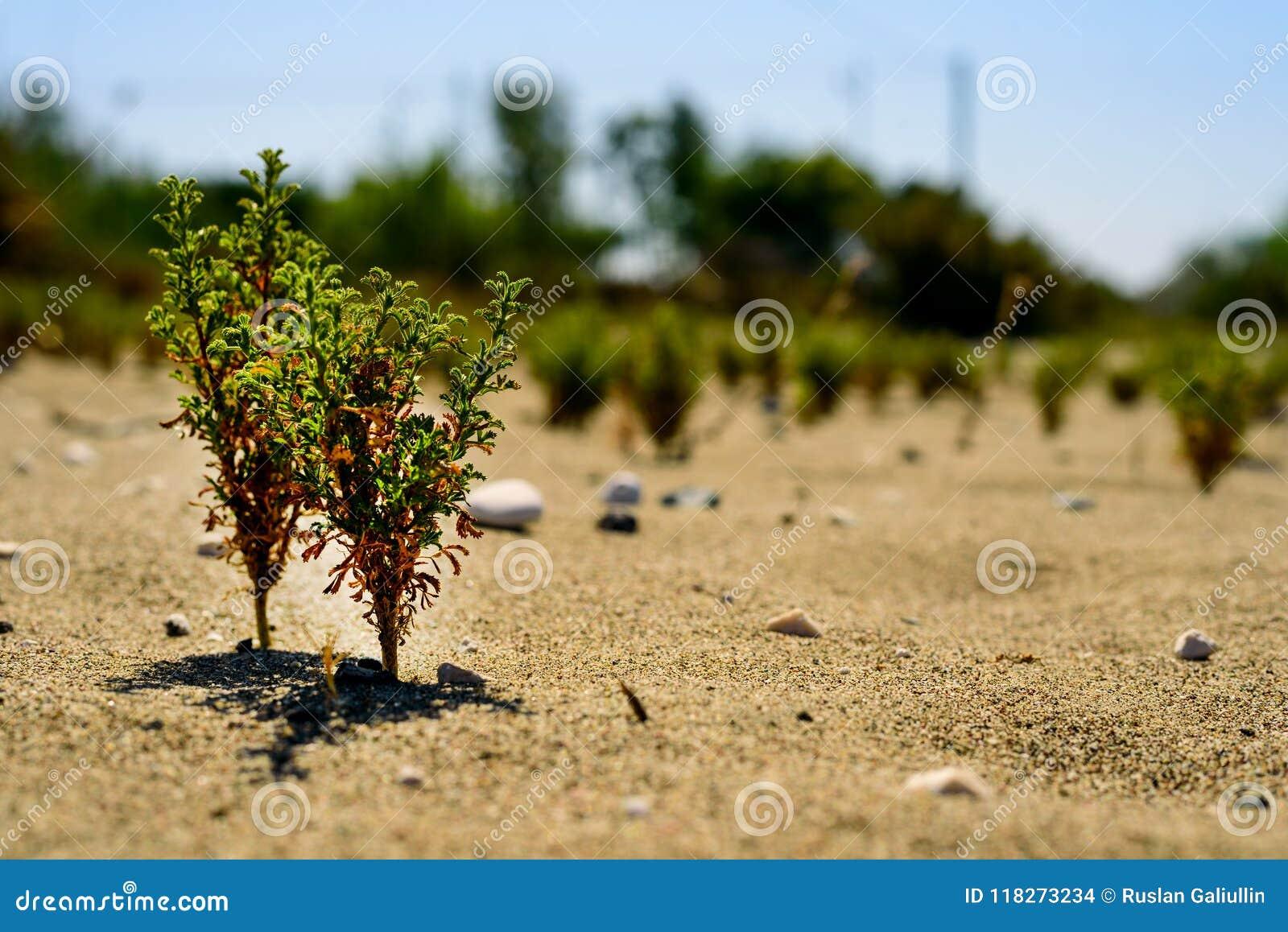 Zieleni flance młodzi drzewa pod piekącym słońcem w piasku pojęcie trwałość, przyrost, siła woli, ekologia