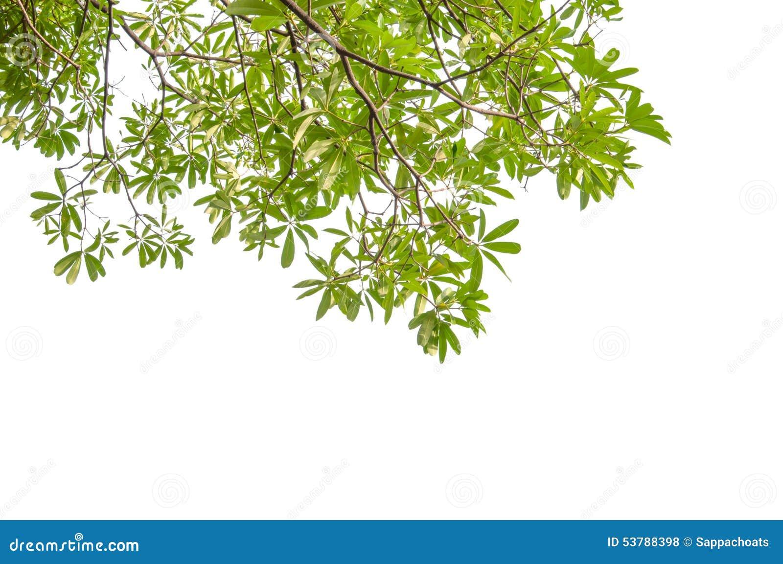 Zieleni gałąź liść i