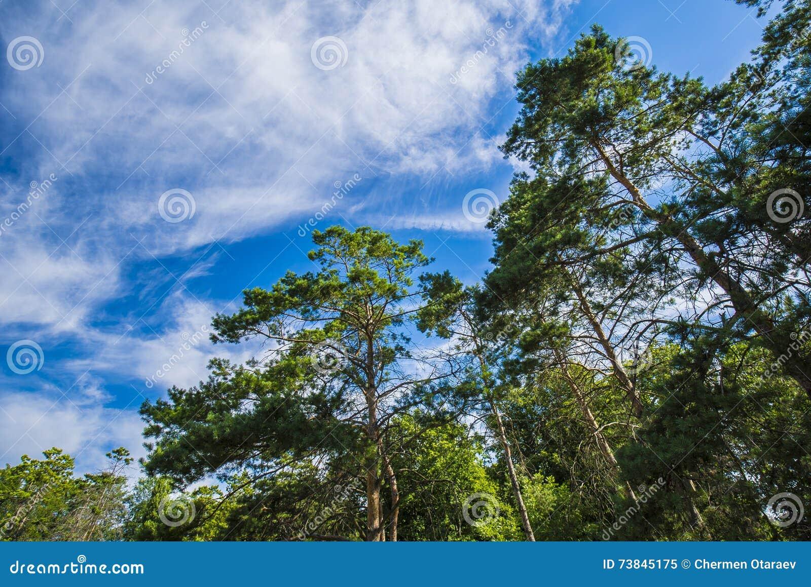Zieleni gałąź sosna przeciw niebieskiemu niebu