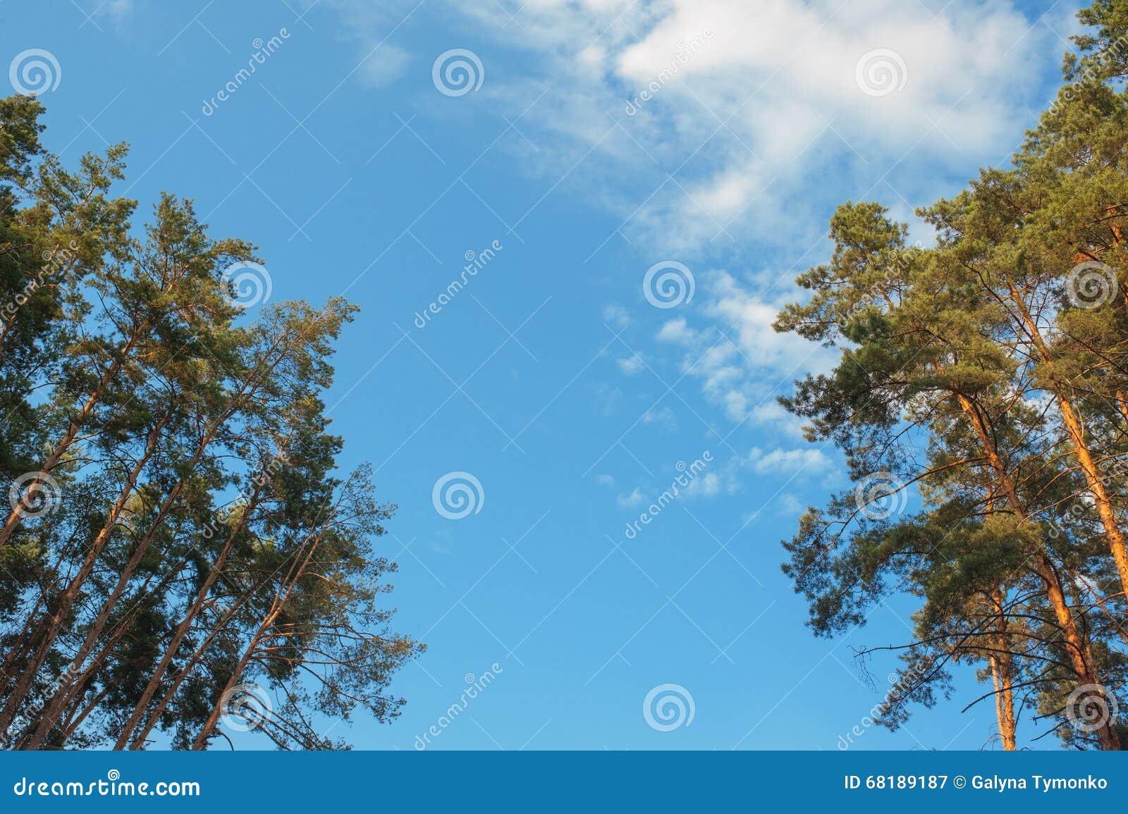 Zieleni gałąź sosna z potomstwami konusują przeciw niebieskiemu niebu