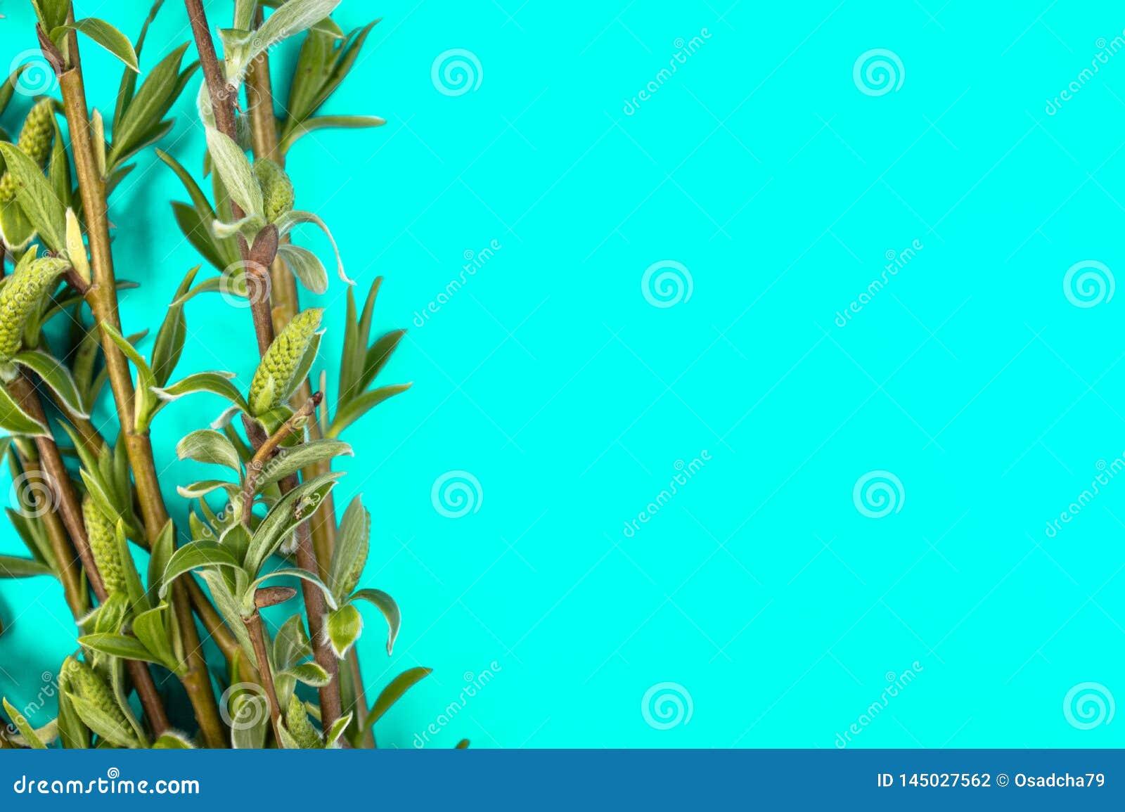Zieleni gałąź wiosny wierzba na zielonym tle Odbitkowa przestrzeń na dobrze dla twój teksta