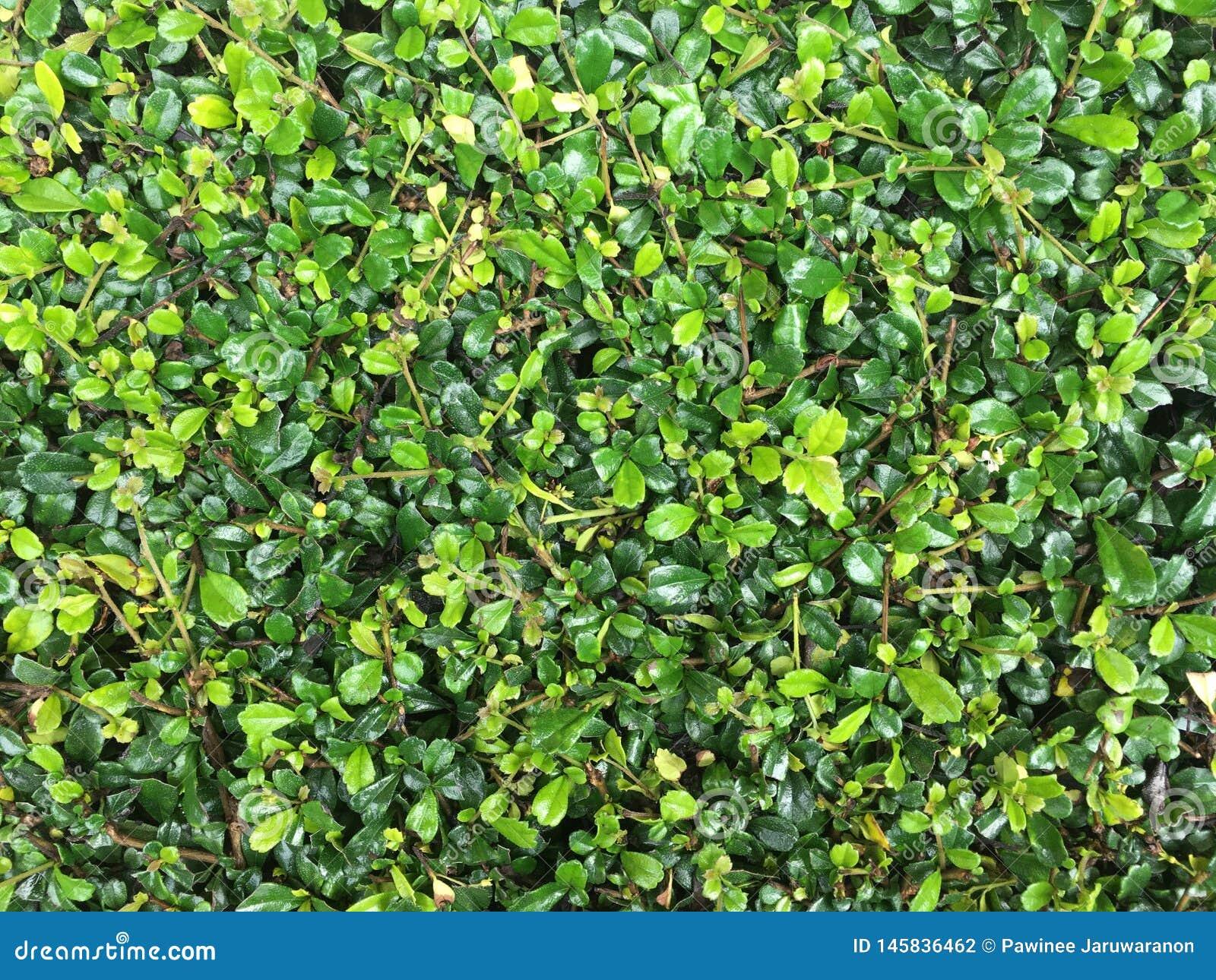 Zieleni hedgerows opuszczają pełnego ramowego tło w ogródzie