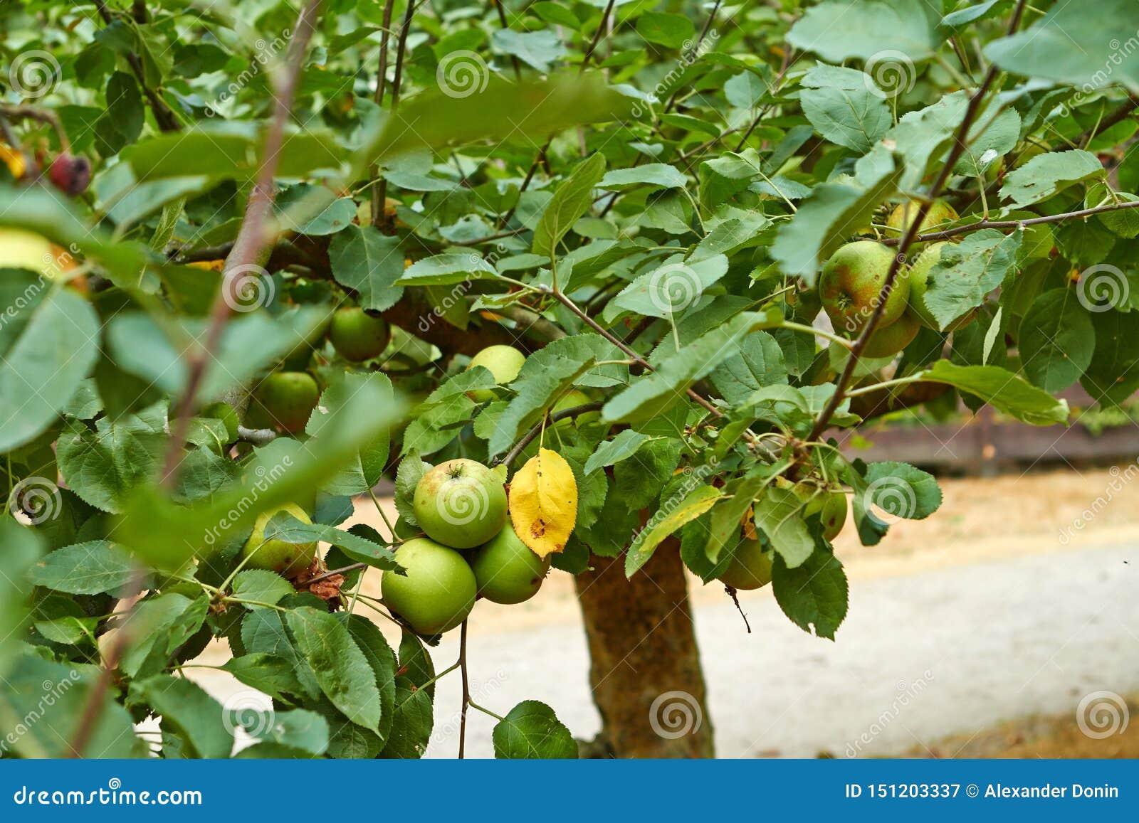 Zieleni jabłka na jabłoni gałąź Holandie Lipiec
