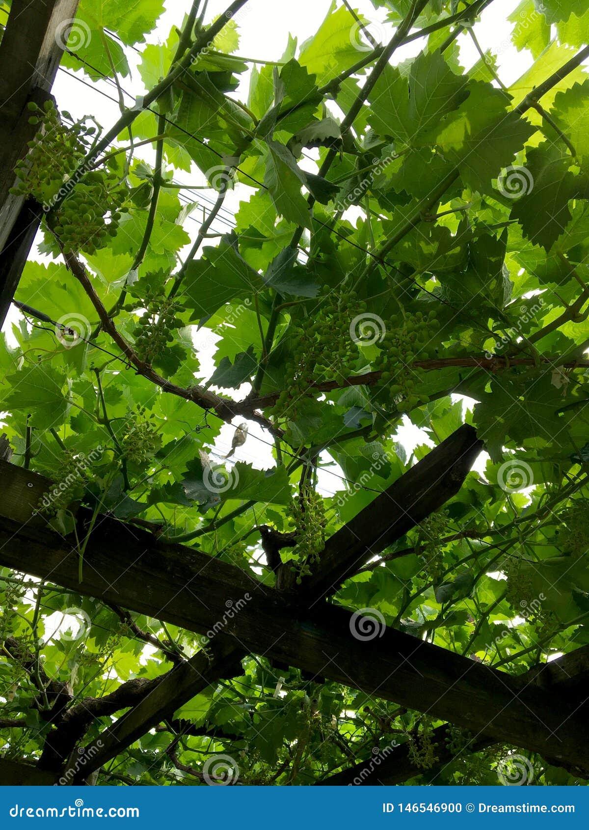 Zieleni winogrona