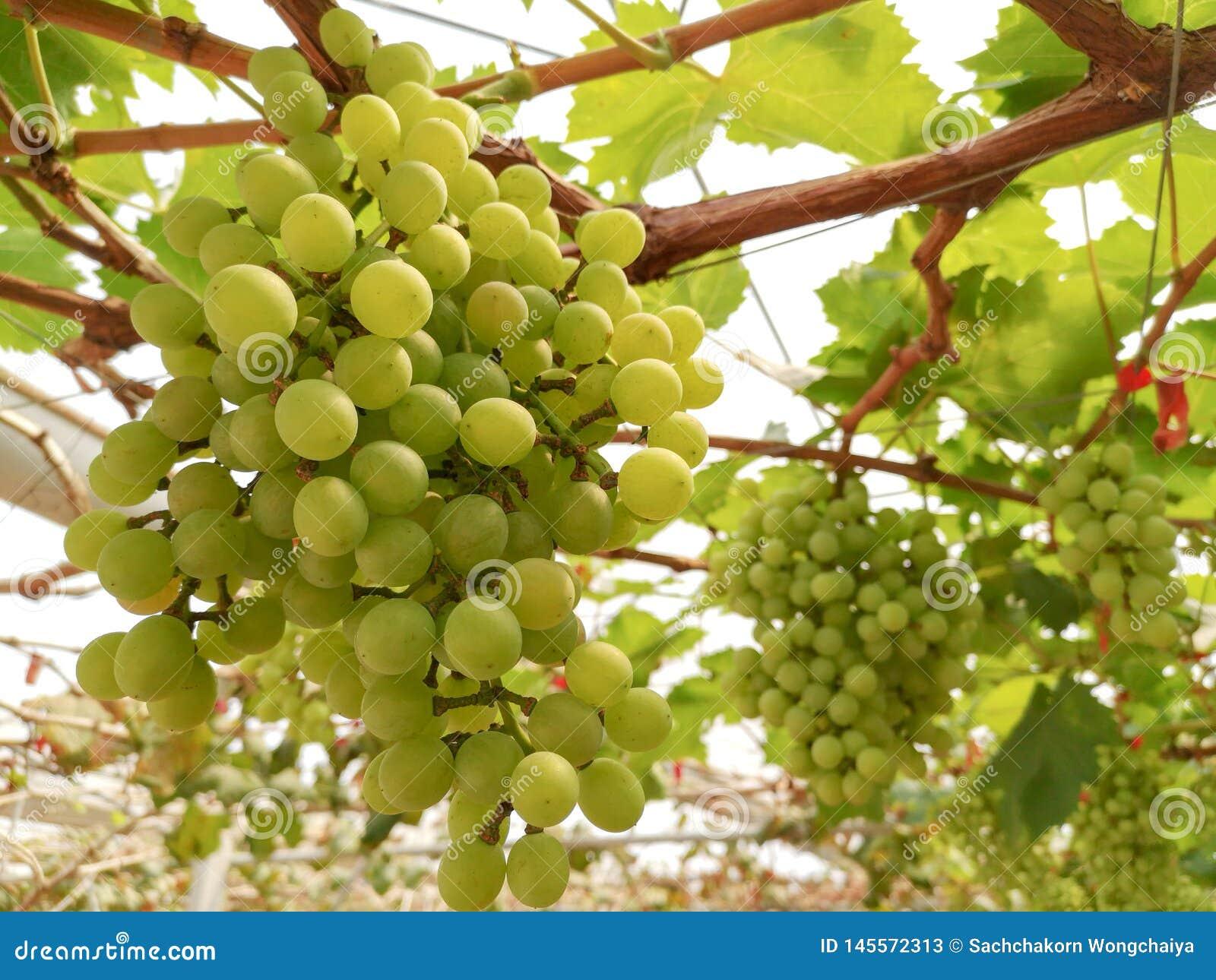 Zieleni winogrona drzewni