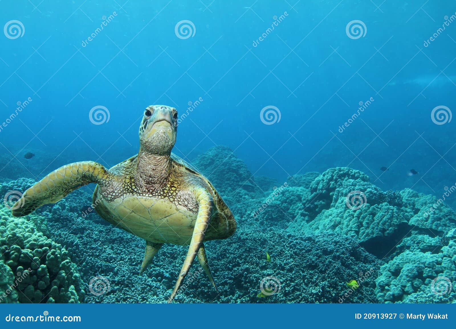 Zielenieje dennego hawajczyka żółwia