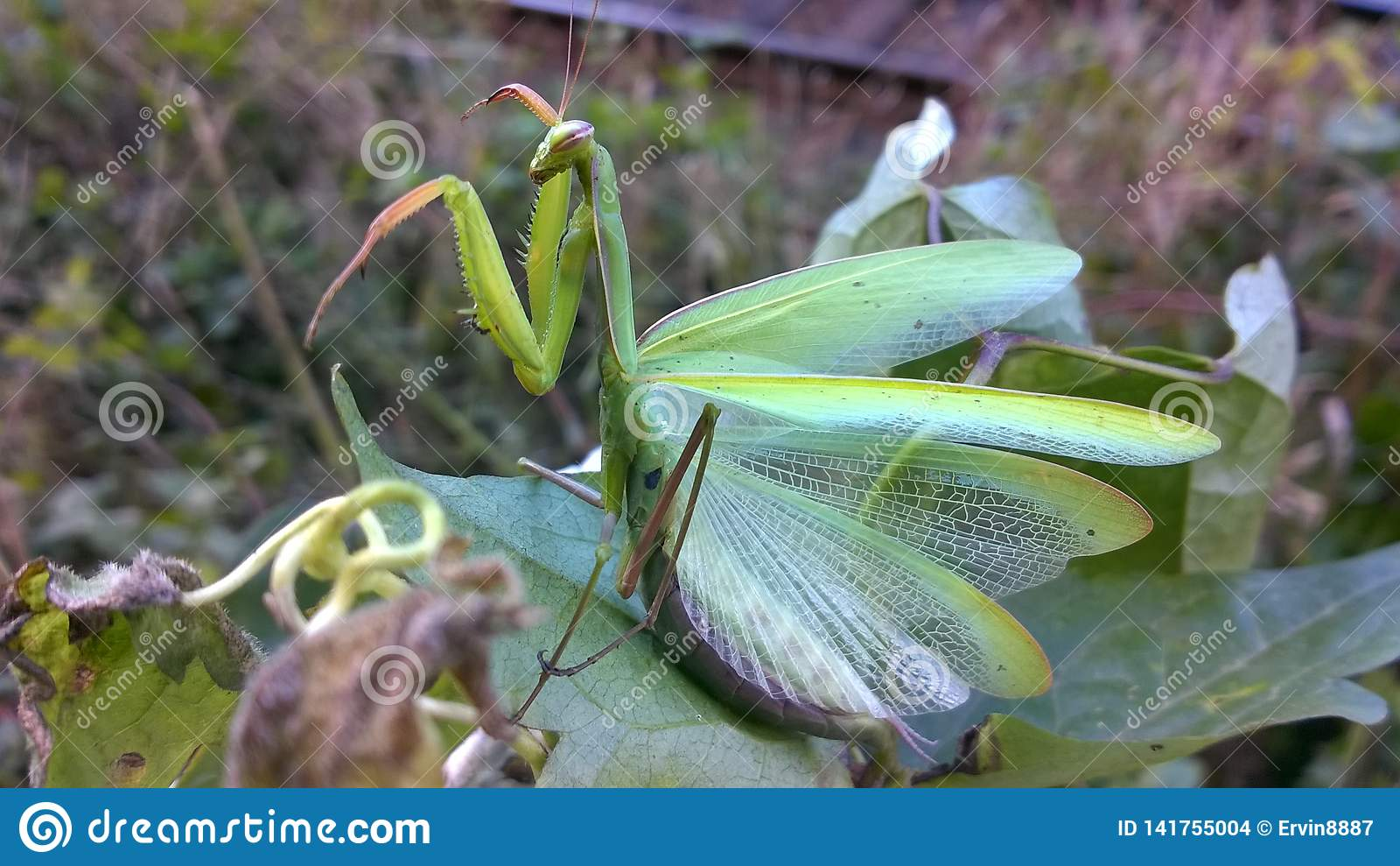 Zielenieje Modlenie Modliszki insekt ładny