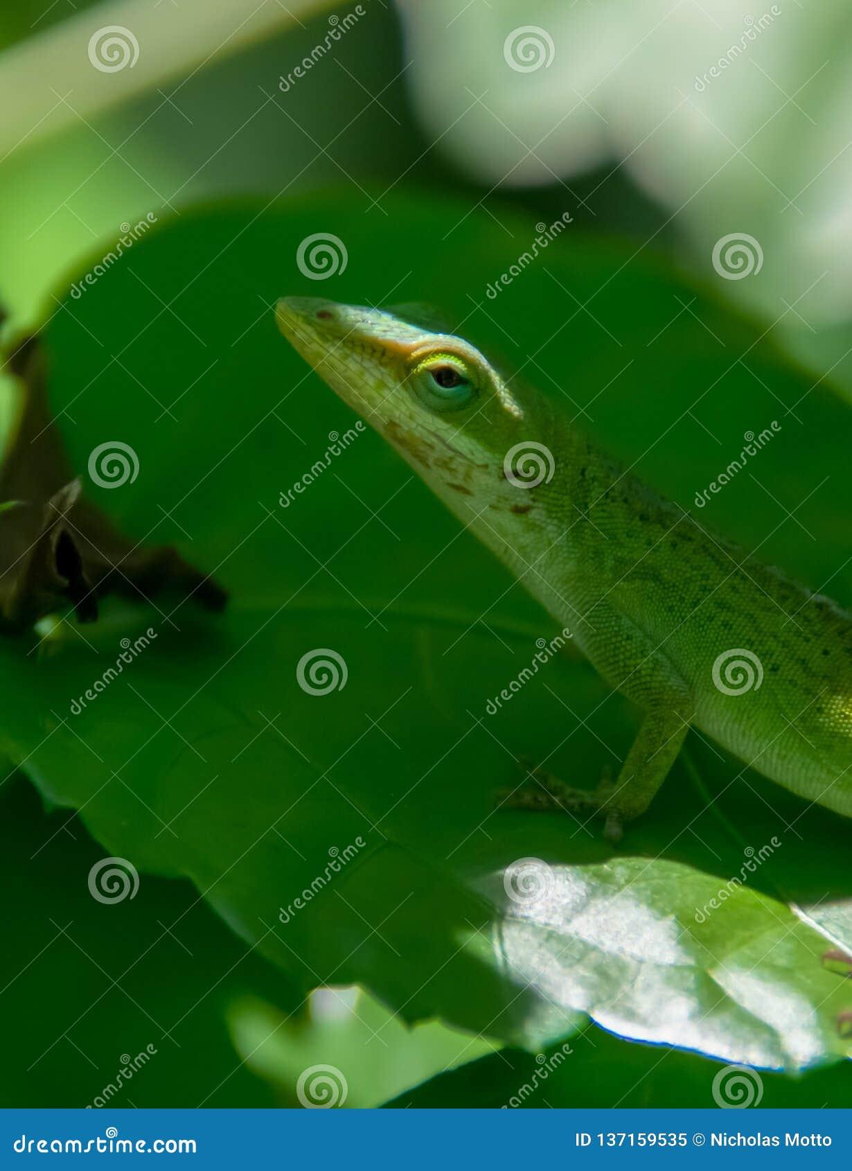 Zielona Anole jaszczurka