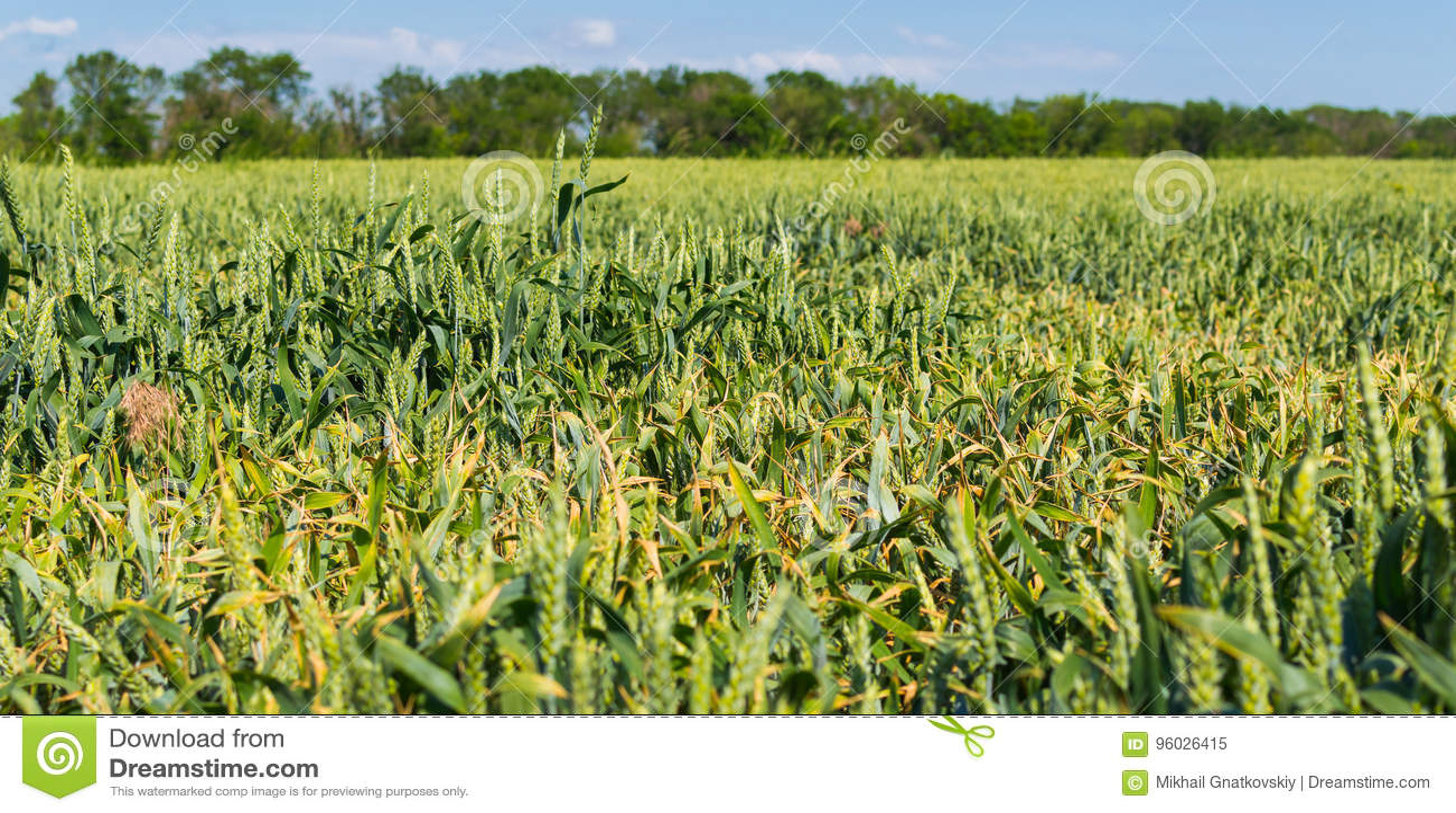 Zielona banatka na polu