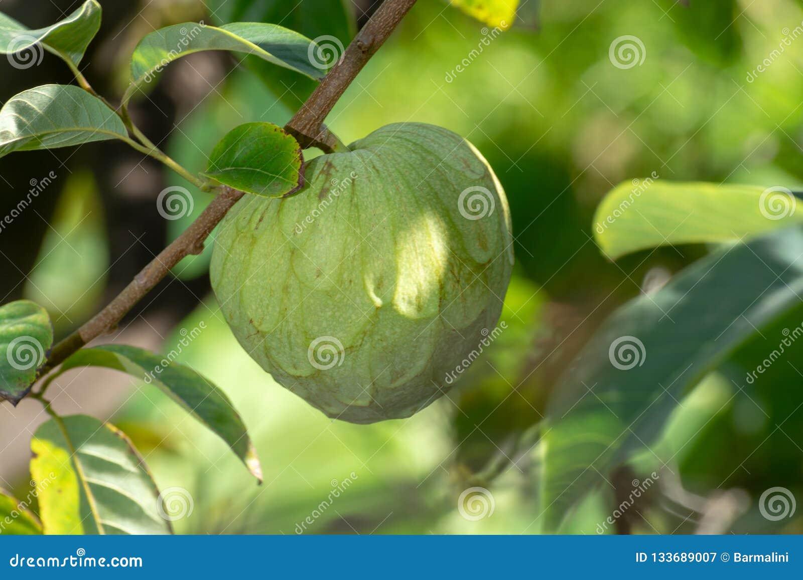 Zielona dojrzała cherimoya lub lody egzotyczna owoc z smakowitą owoc