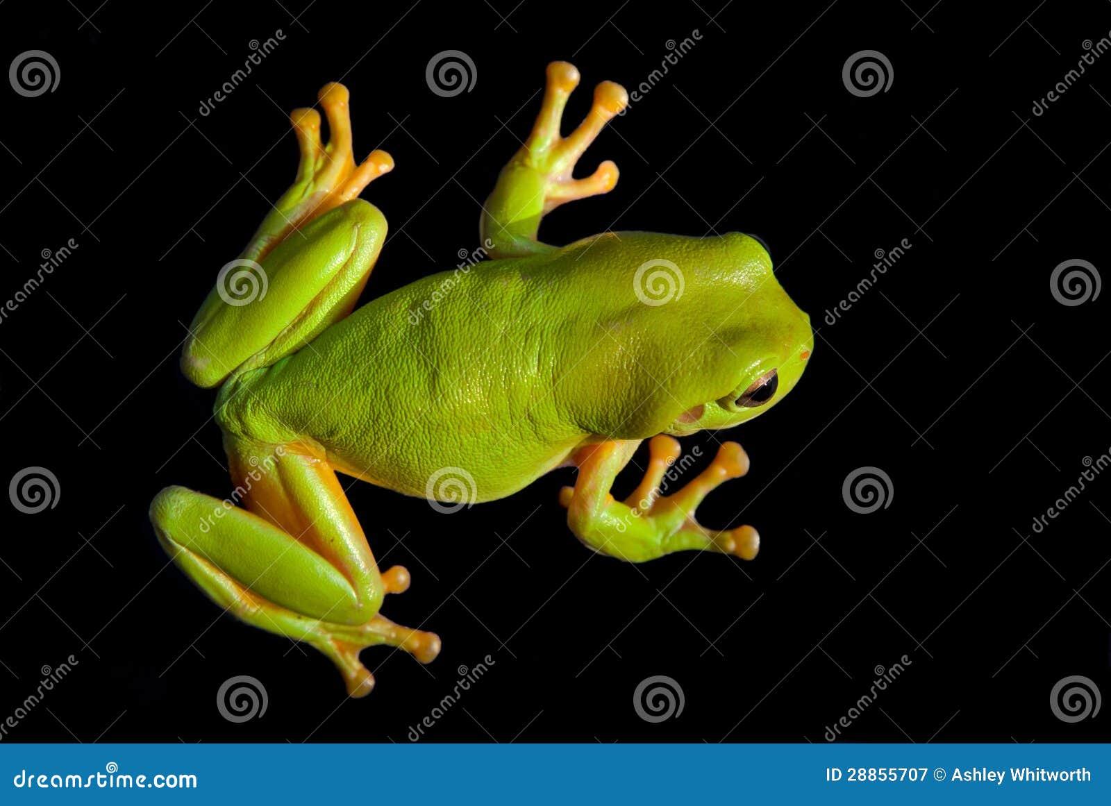 Zielona Drzewna żaba