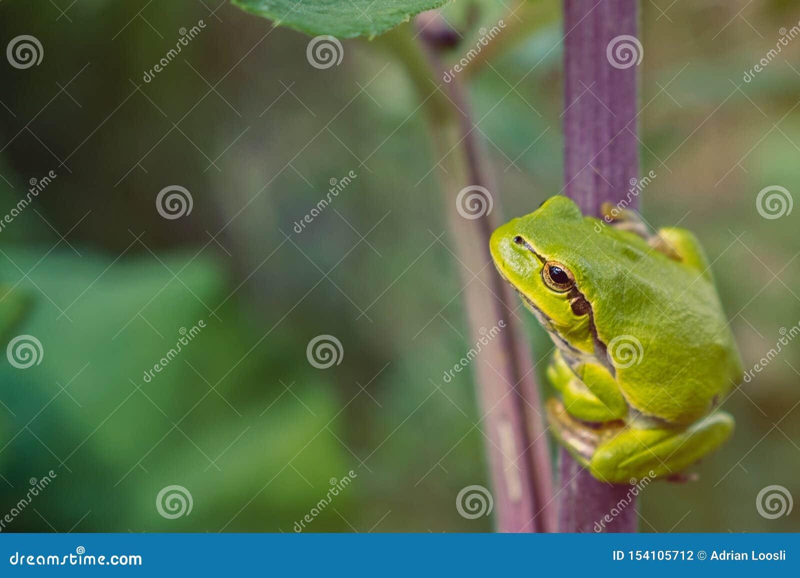 Zielona drzewna żaba na łopianowym badylu
