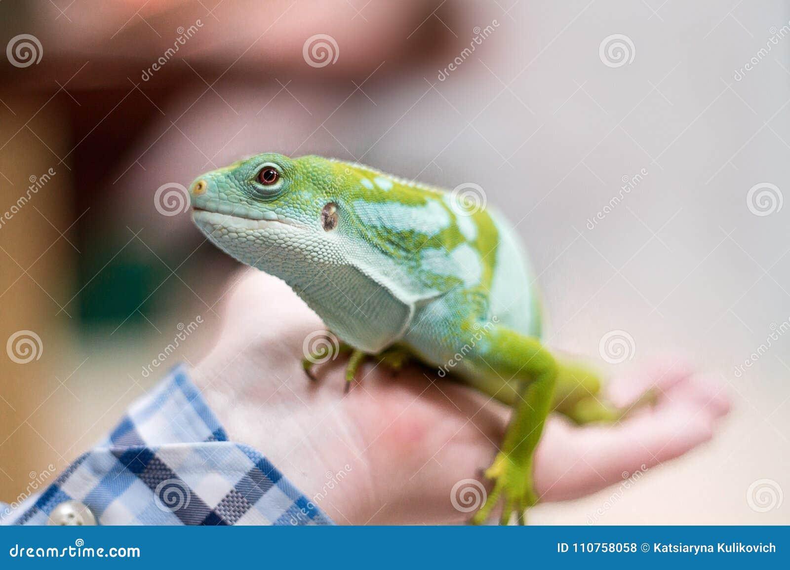 Zielona iguana w ręce