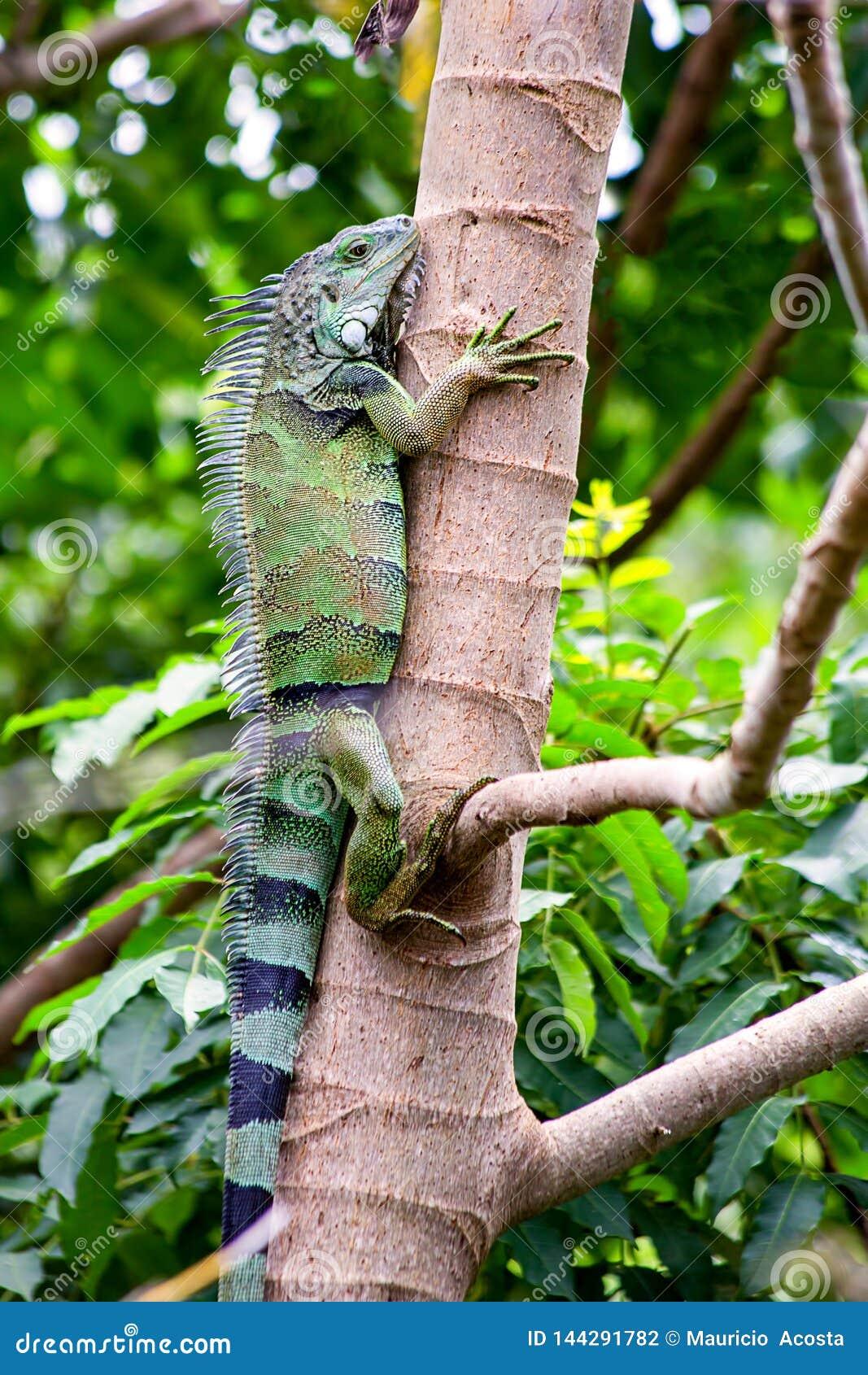 Zielona iguana wspina się drzewa